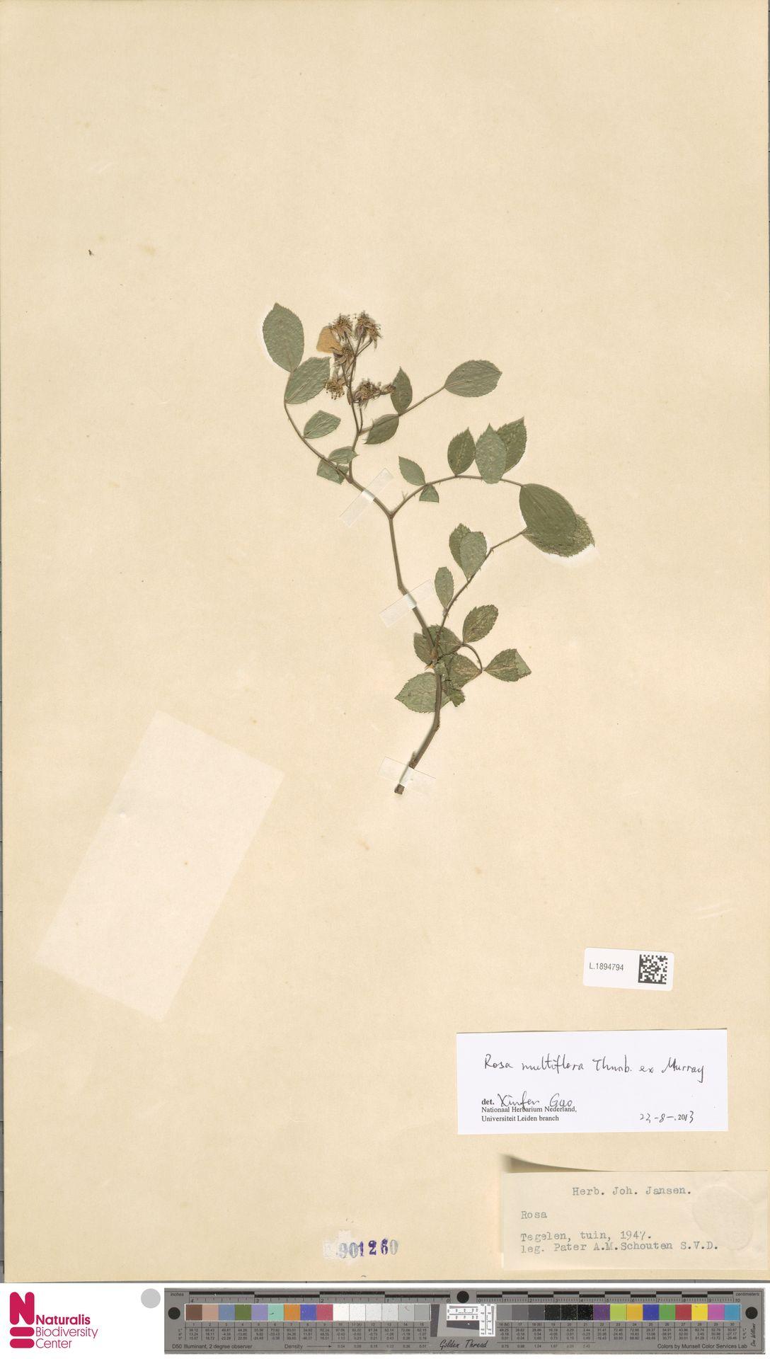 L.1894794 | Rosa multiflora Thunb.