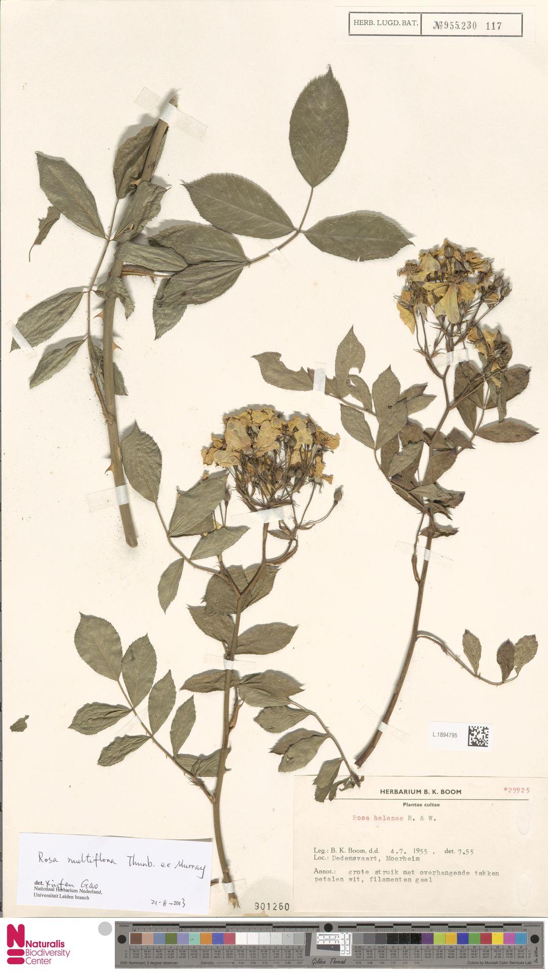 L.1894795 | Rosa multiflora Thunb.