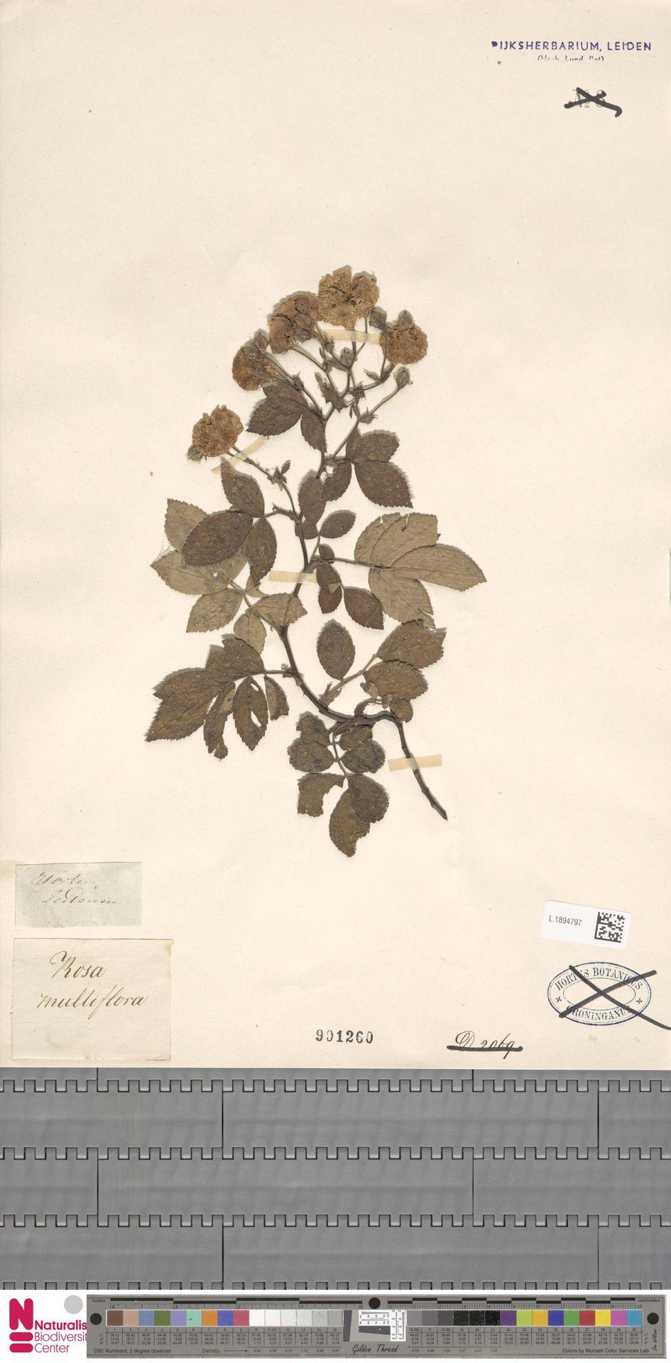 L.1894797 | Rosa multiflora Thunb.