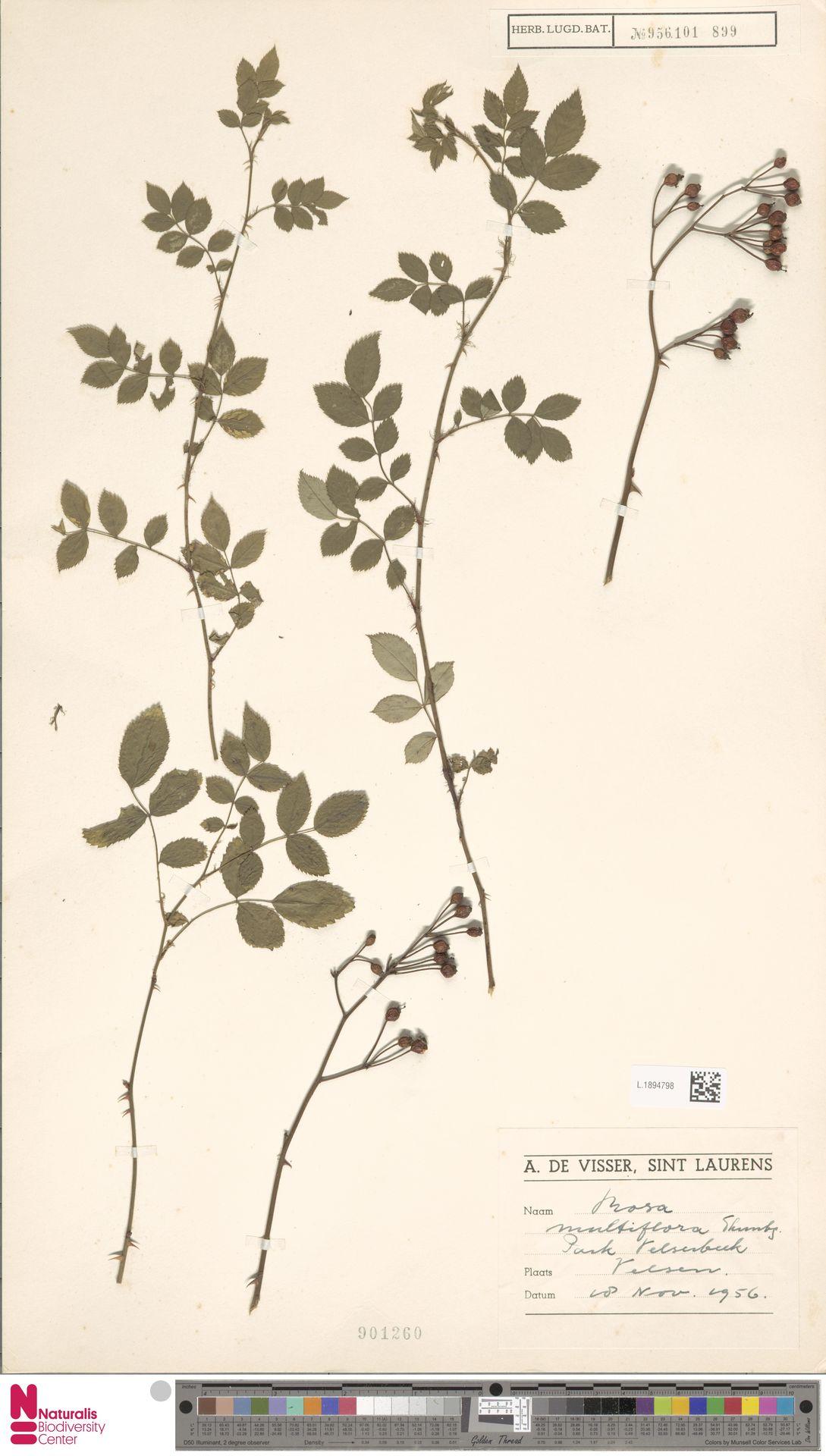 L.1894798   Rosa multiflora Thunb.