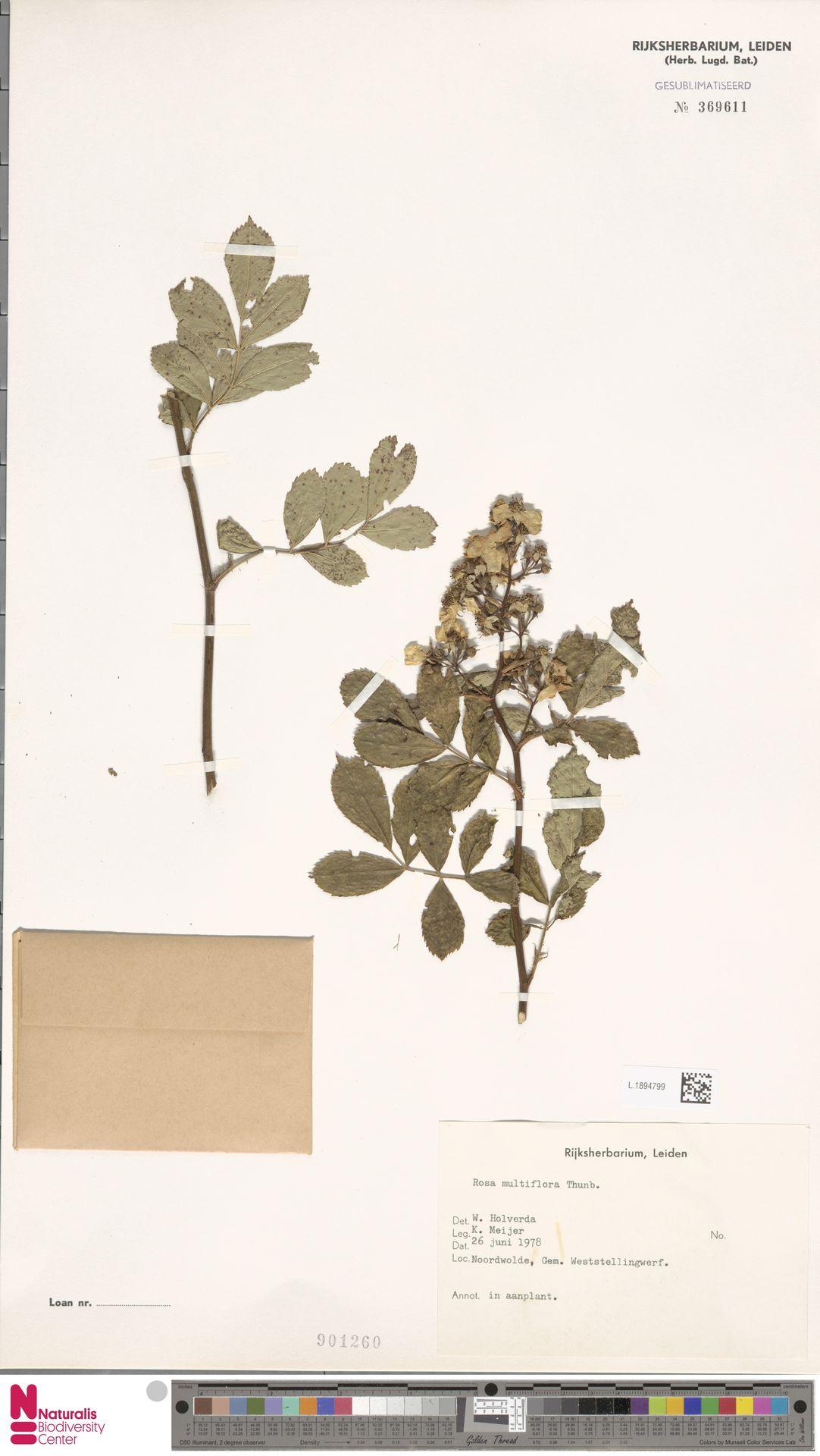 L.1894799 | Rosa multiflora Thunb.