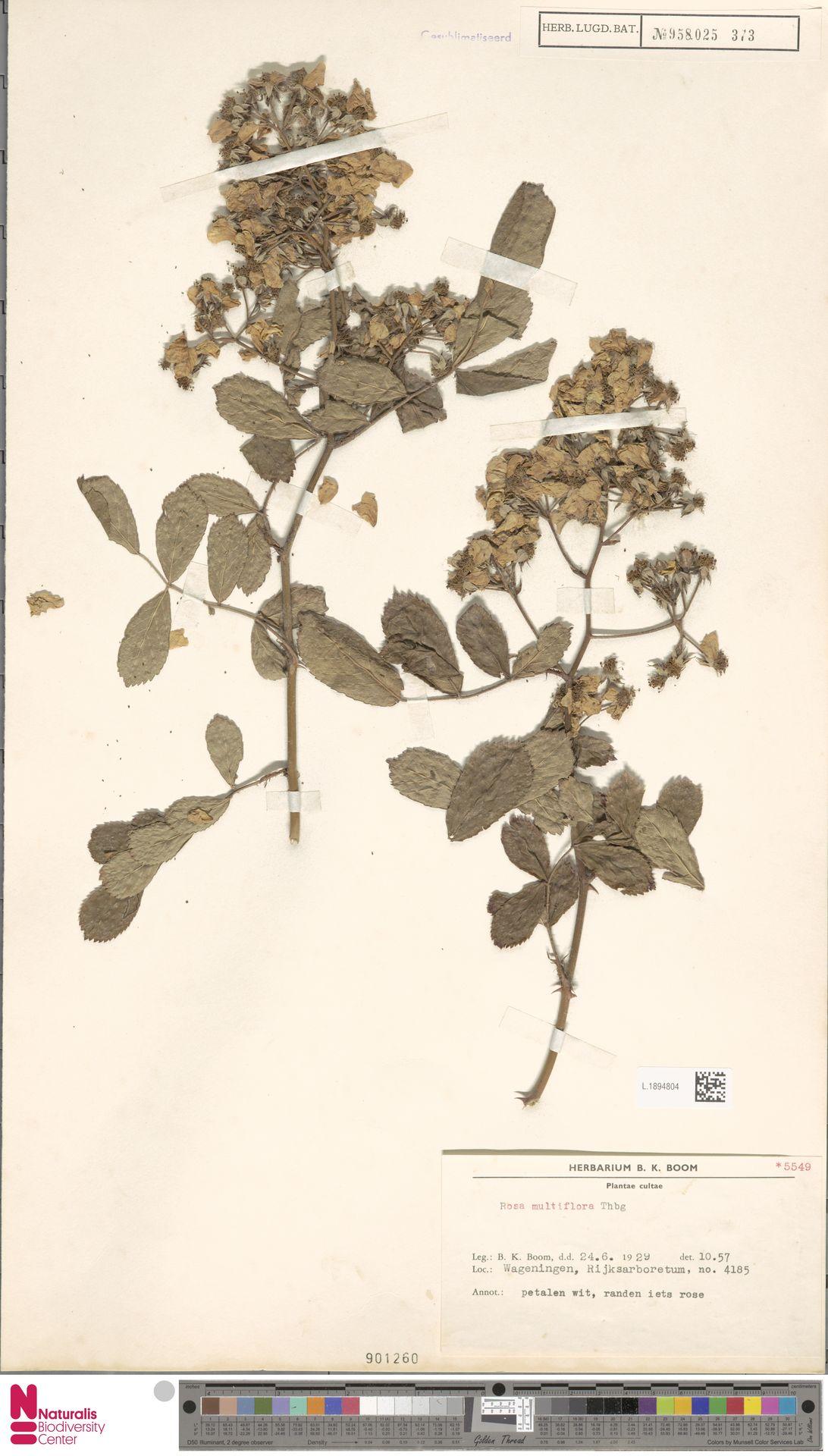 L.1894804 | Rosa multiflora Thunb.
