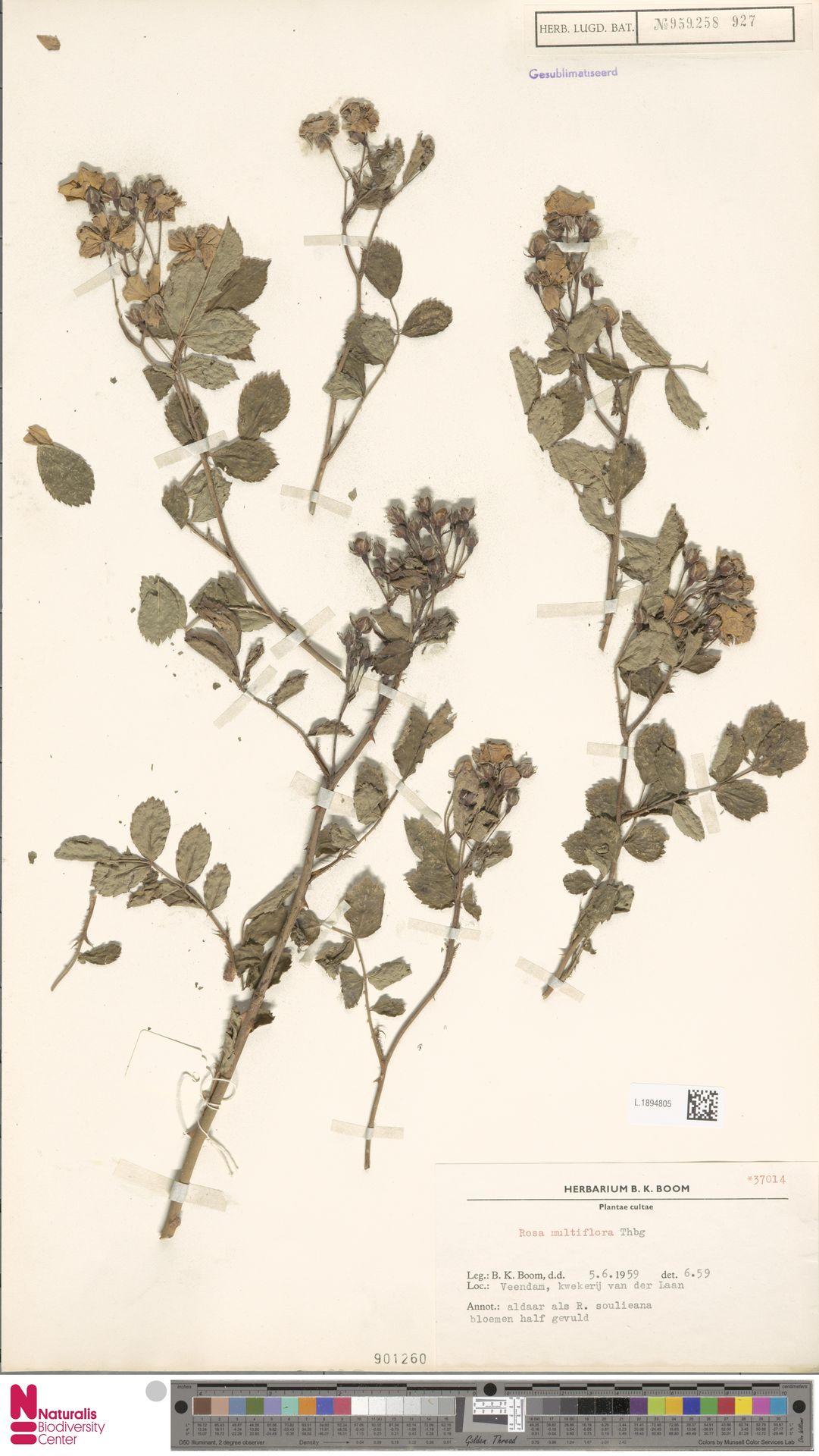 L.1894805   Rosa multiflora Thunb.