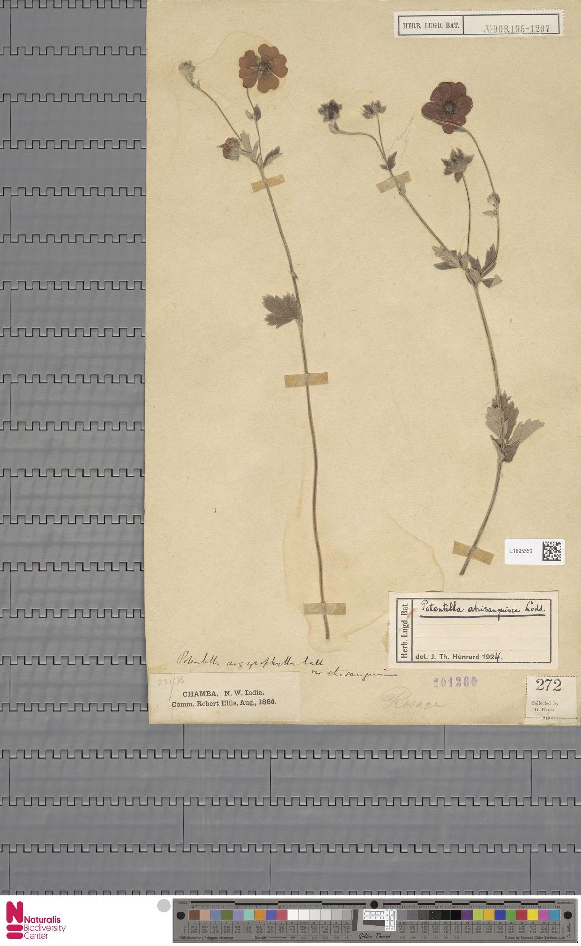 L.1895550 | Potentilla atrisanguinea Th.Wolf