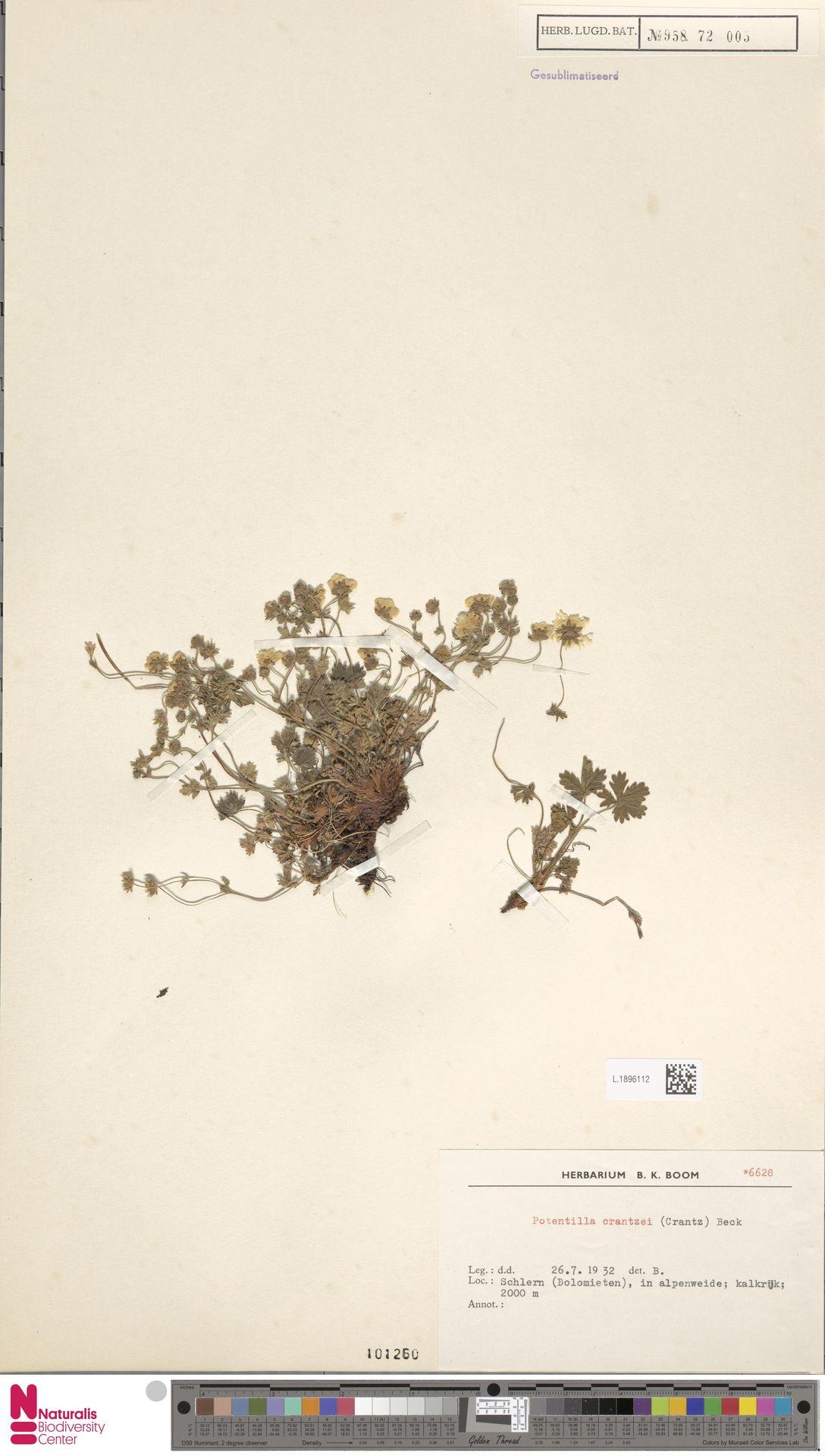 L.1896112 | Potentilla crantzii (Crantz) G.Beck ex Fritsch