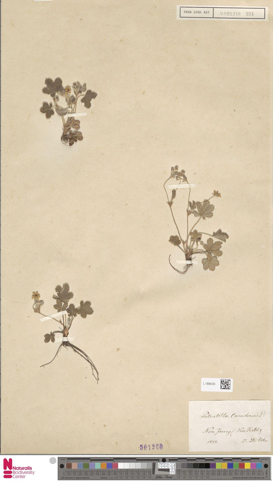 L.1896435 | Potentilla canadensis L.