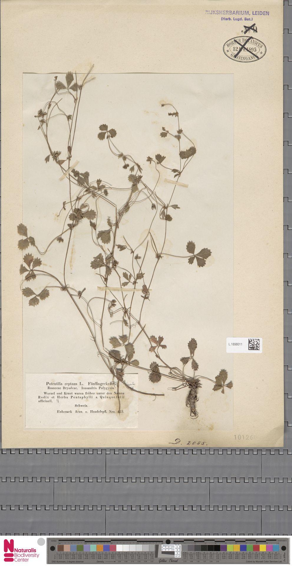 L.1898011   Potentilla reptans L.