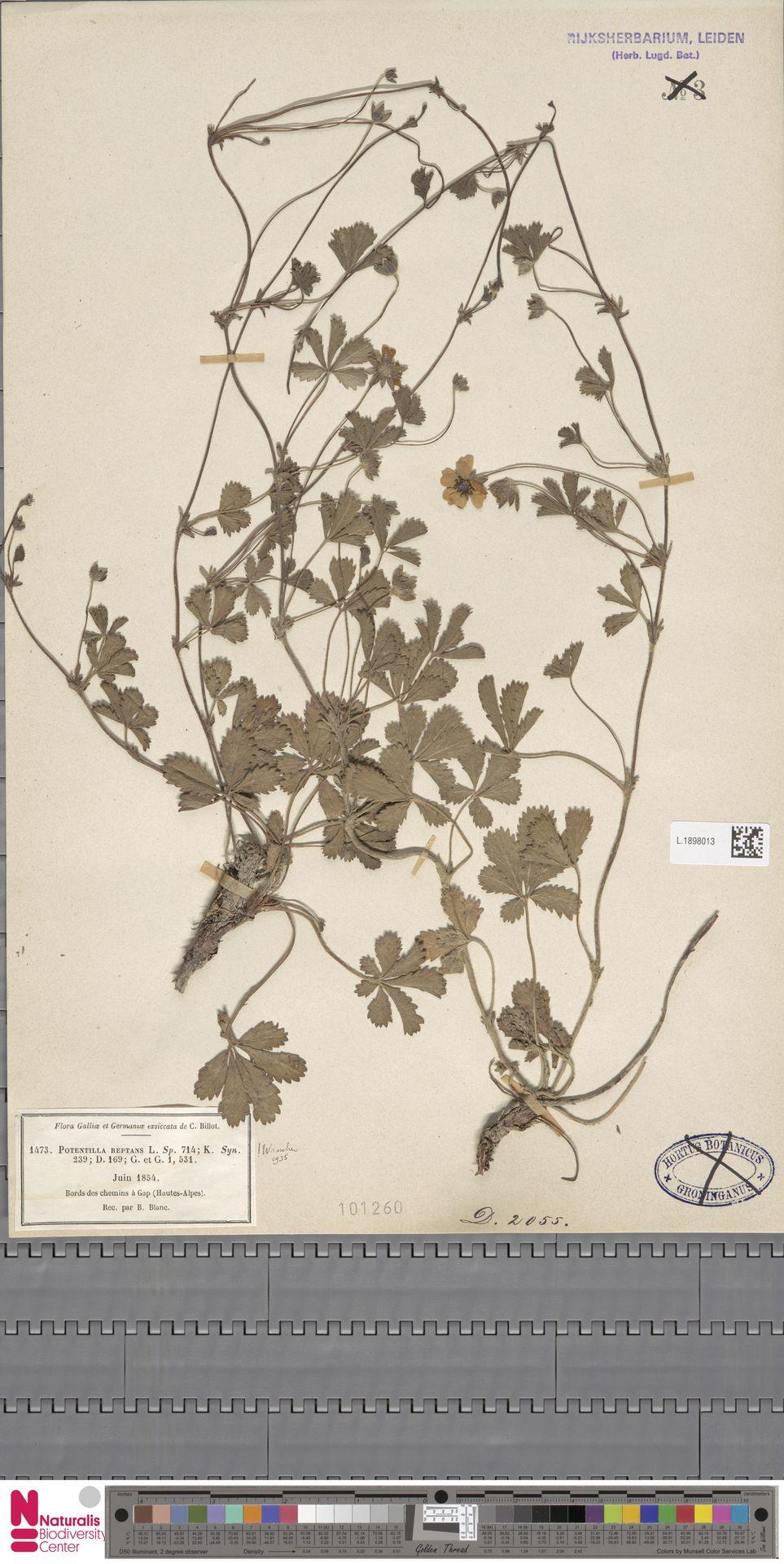 L.1898013 | Potentilla reptans L.