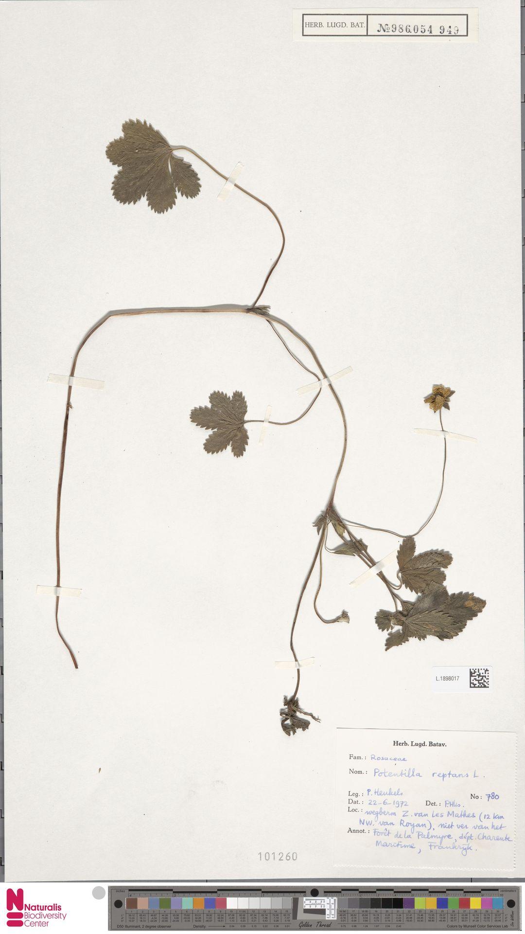 L.1898017 | Potentilla reptans L.