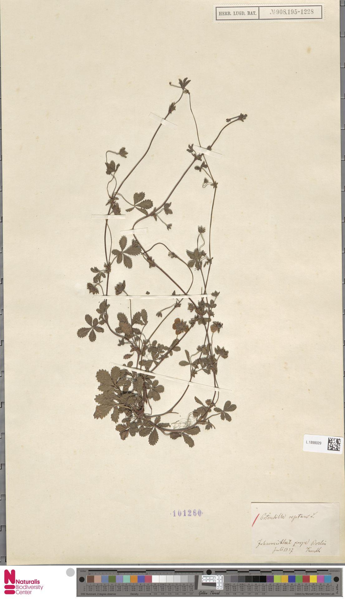 L.1898029 | Potentilla reptans L.