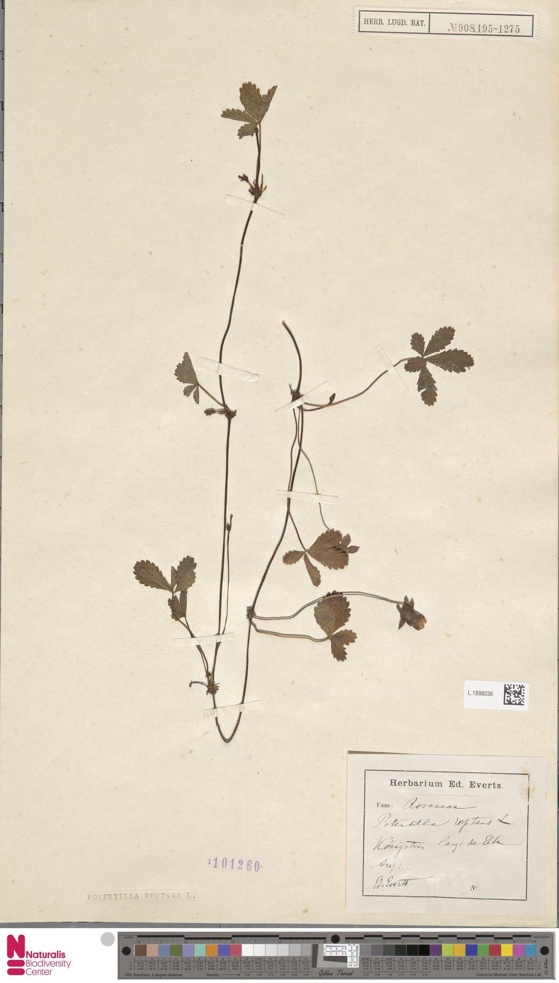 L.1898036 | Potentilla reptans L.