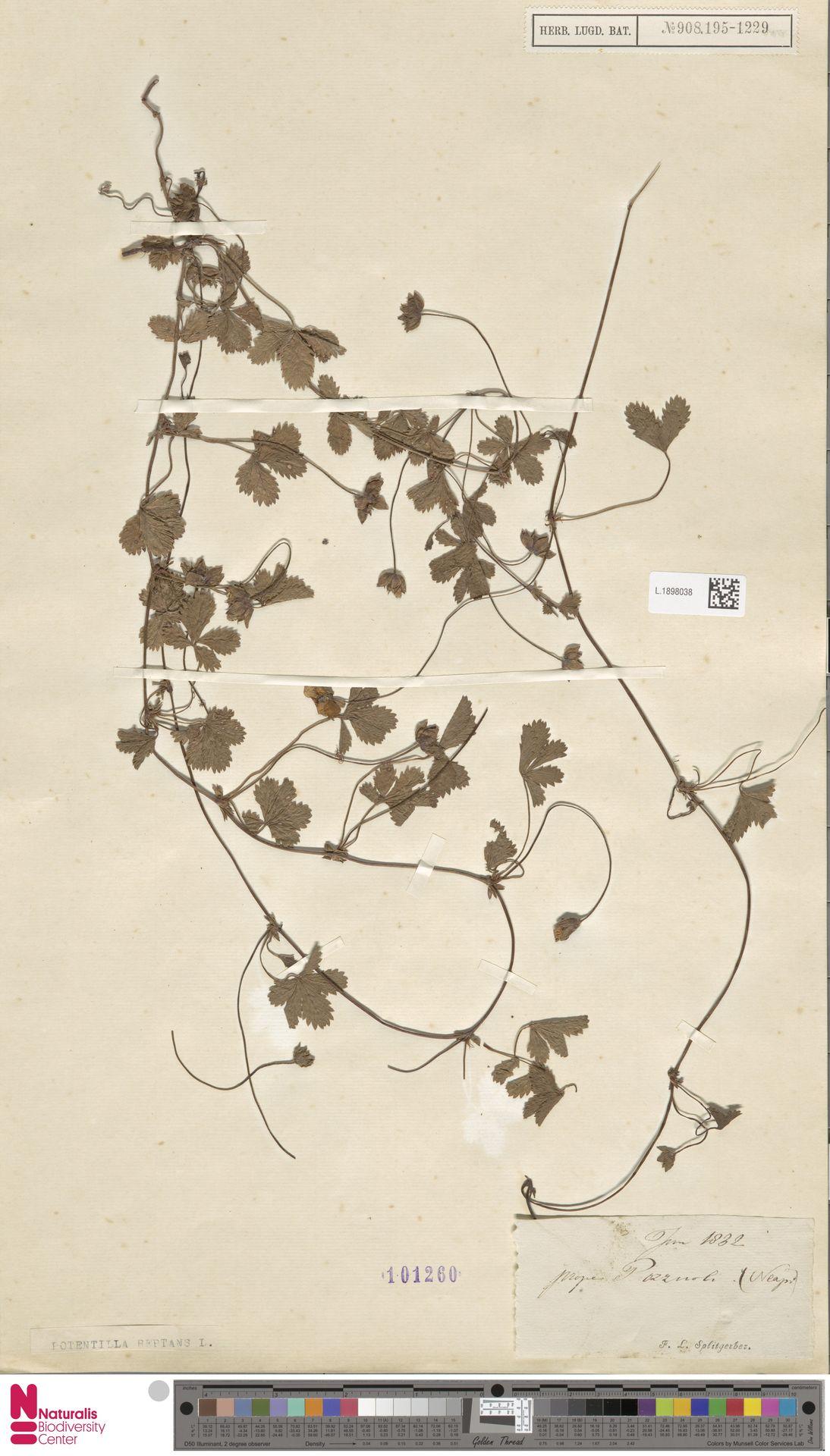 L.1898038   Potentilla reptans L.