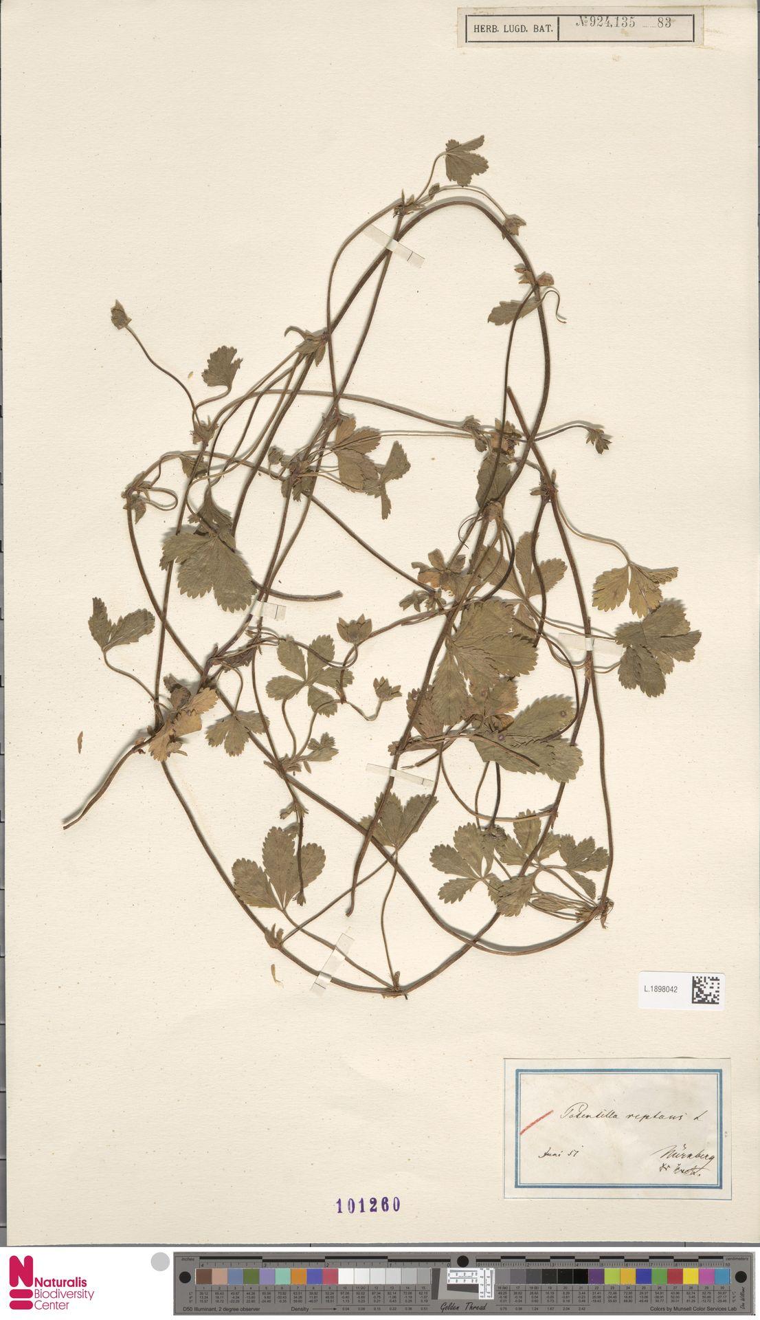 L.1898042 | Potentilla reptans L.