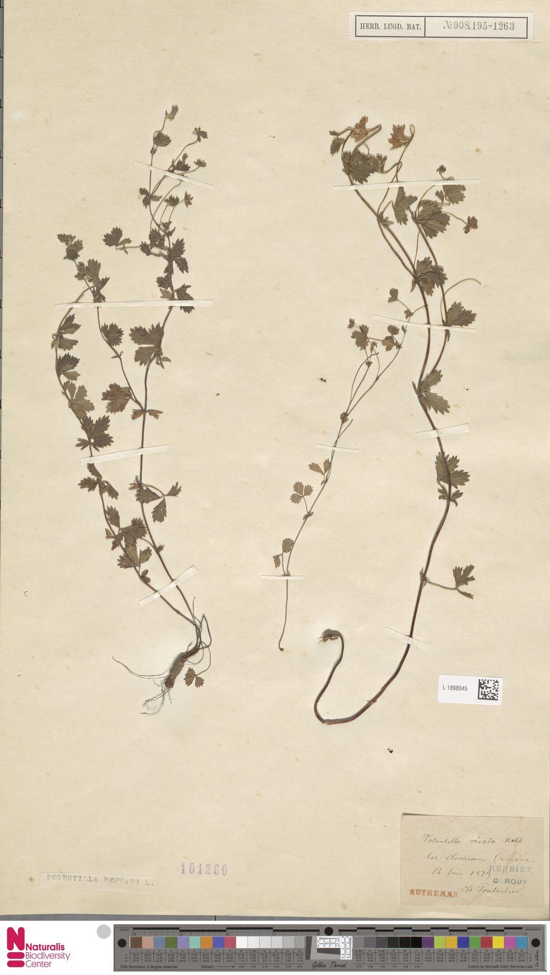 L.1898045 | Potentilla reptans L.