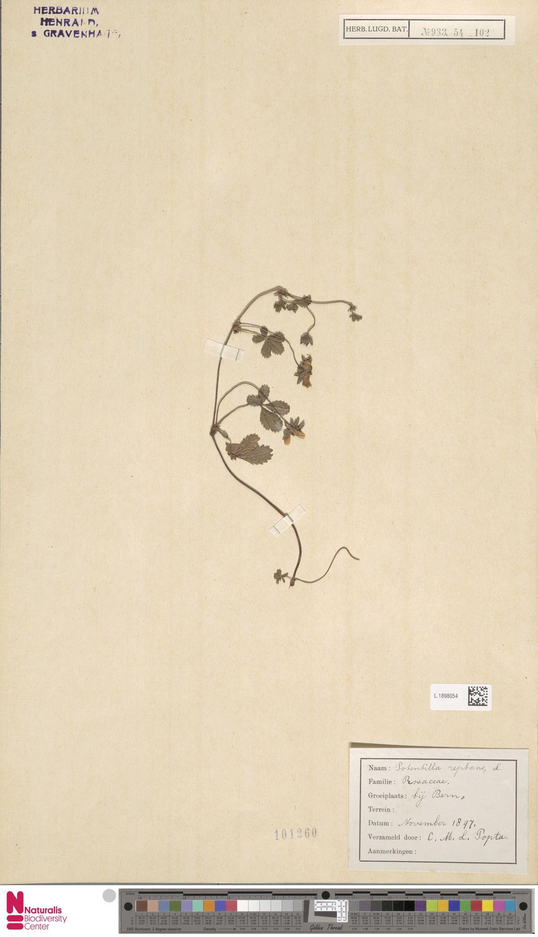 L.1898054 | Potentilla reptans L.