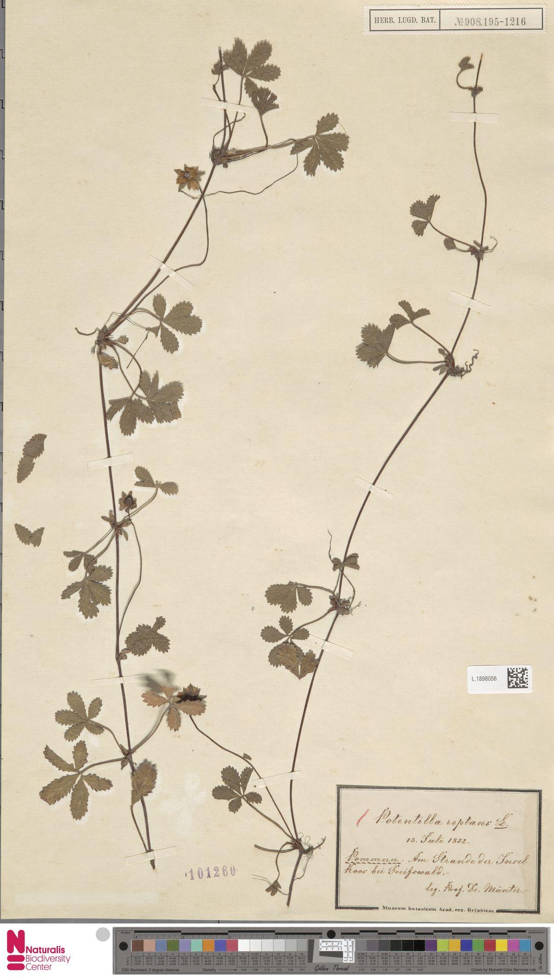 L.1898056   Potentilla reptans L.