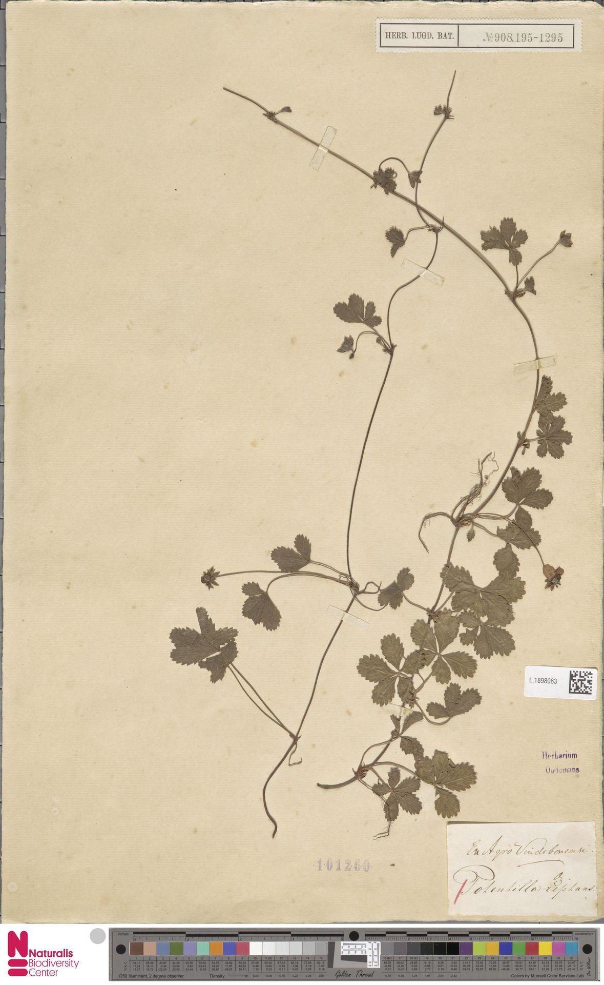 L.1898063 | Potentilla reptans L.