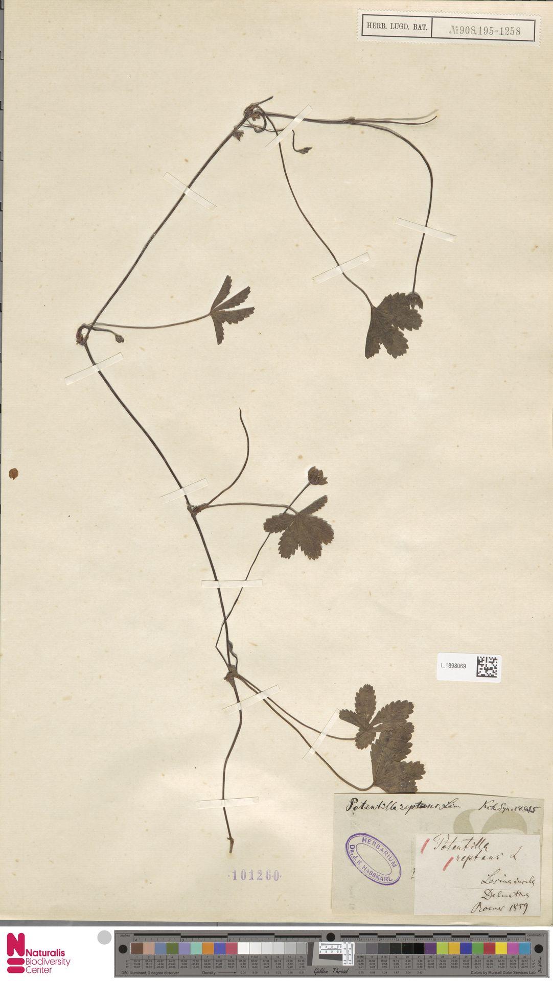 L.1898069   Potentilla reptans L.