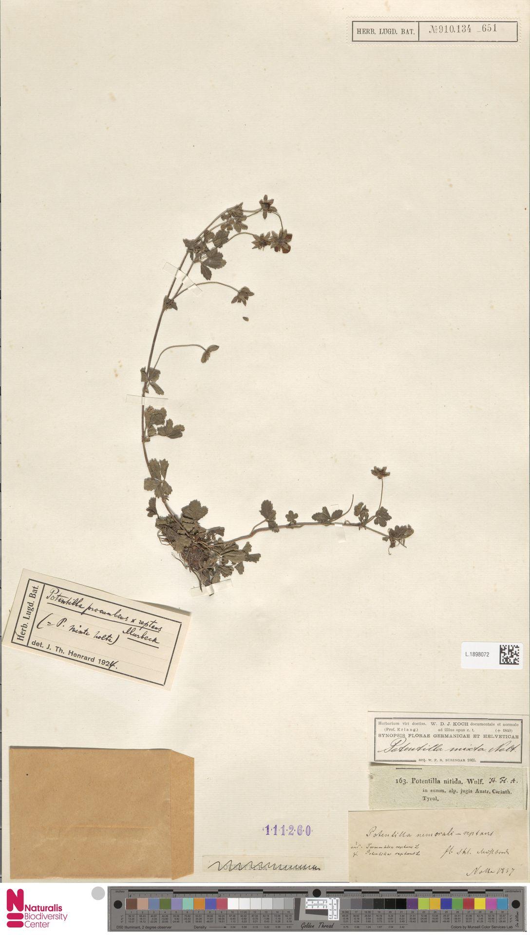 L.1898072 | Potentilla reptans L.