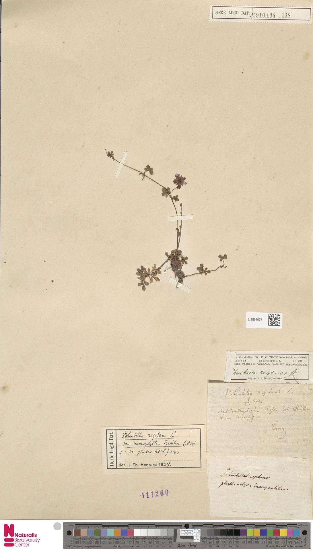 L.1898076 | Potentilla reptans L.