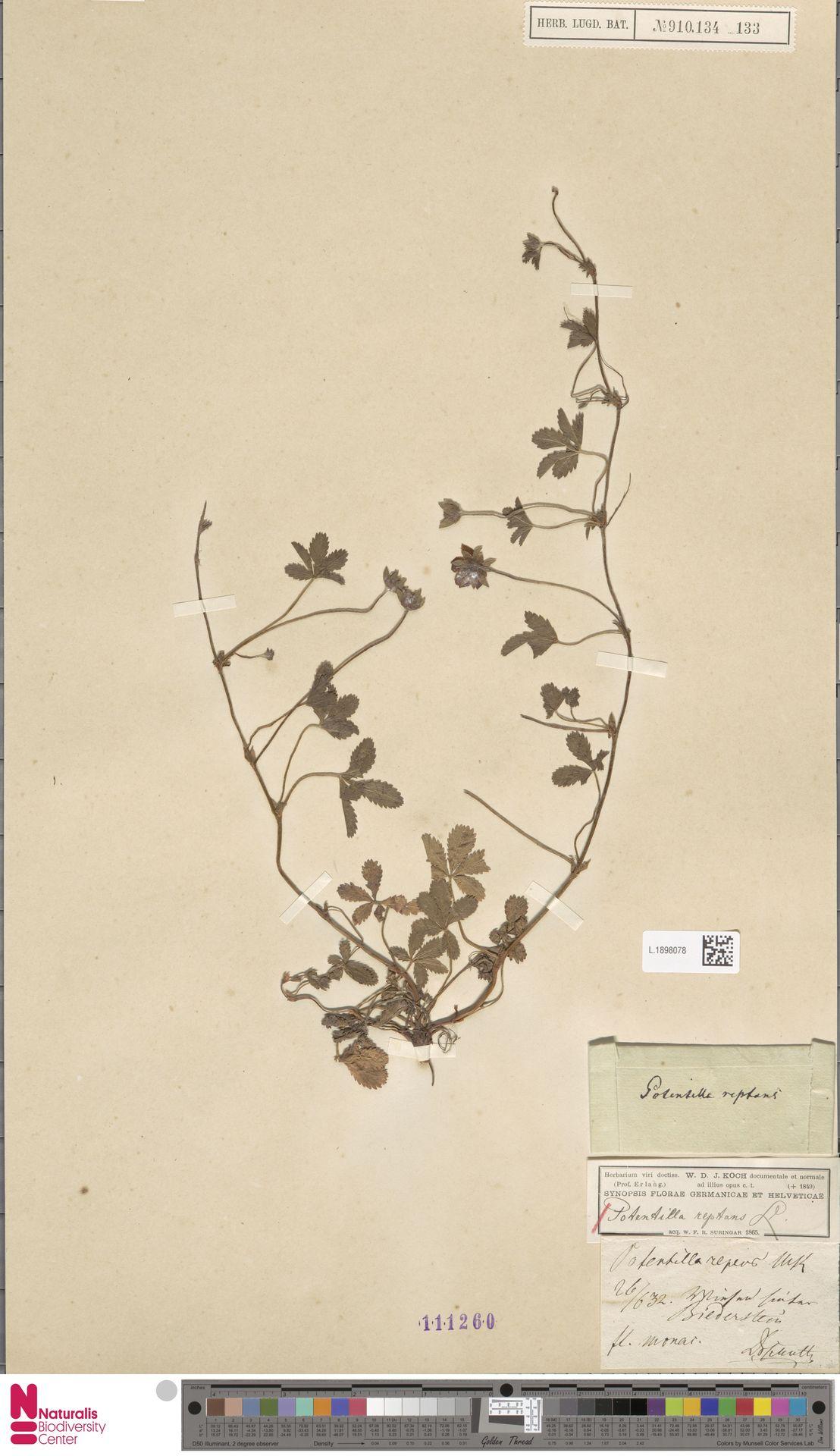 L.1898078   Potentilla reptans L.