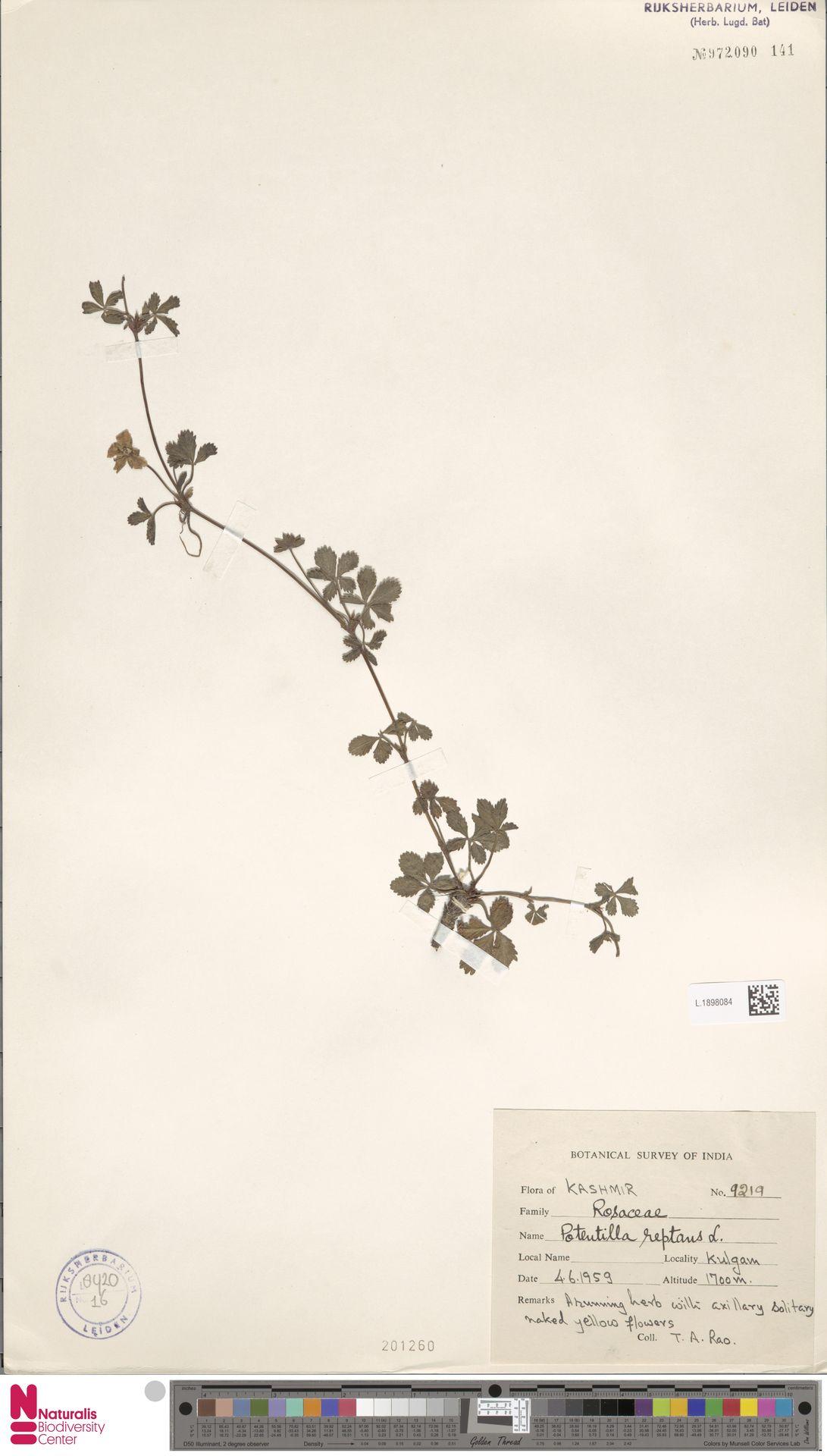 L.1898084 | Potentilla reptans L.