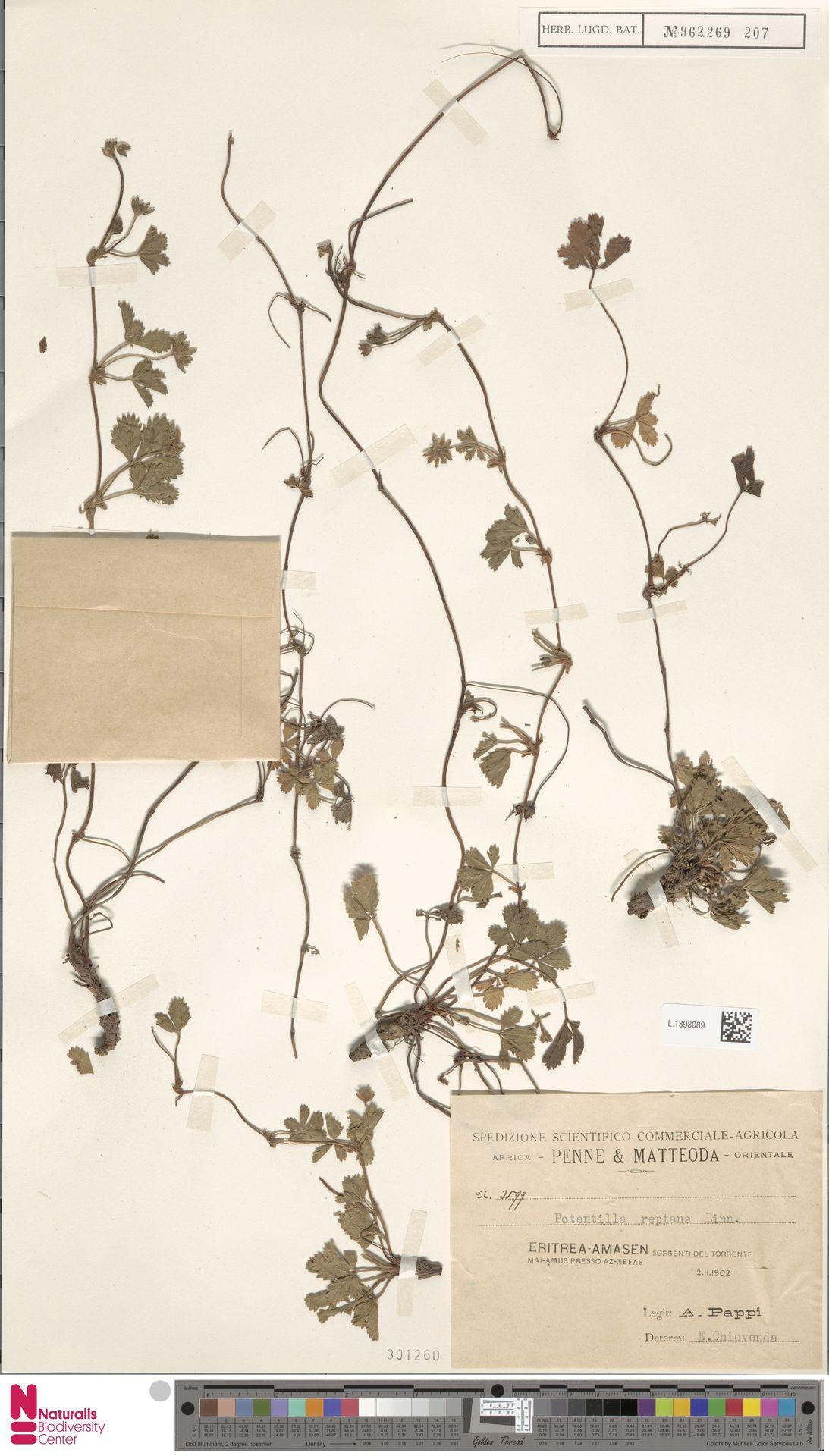 L.1898089 | Potentilla reptans L.