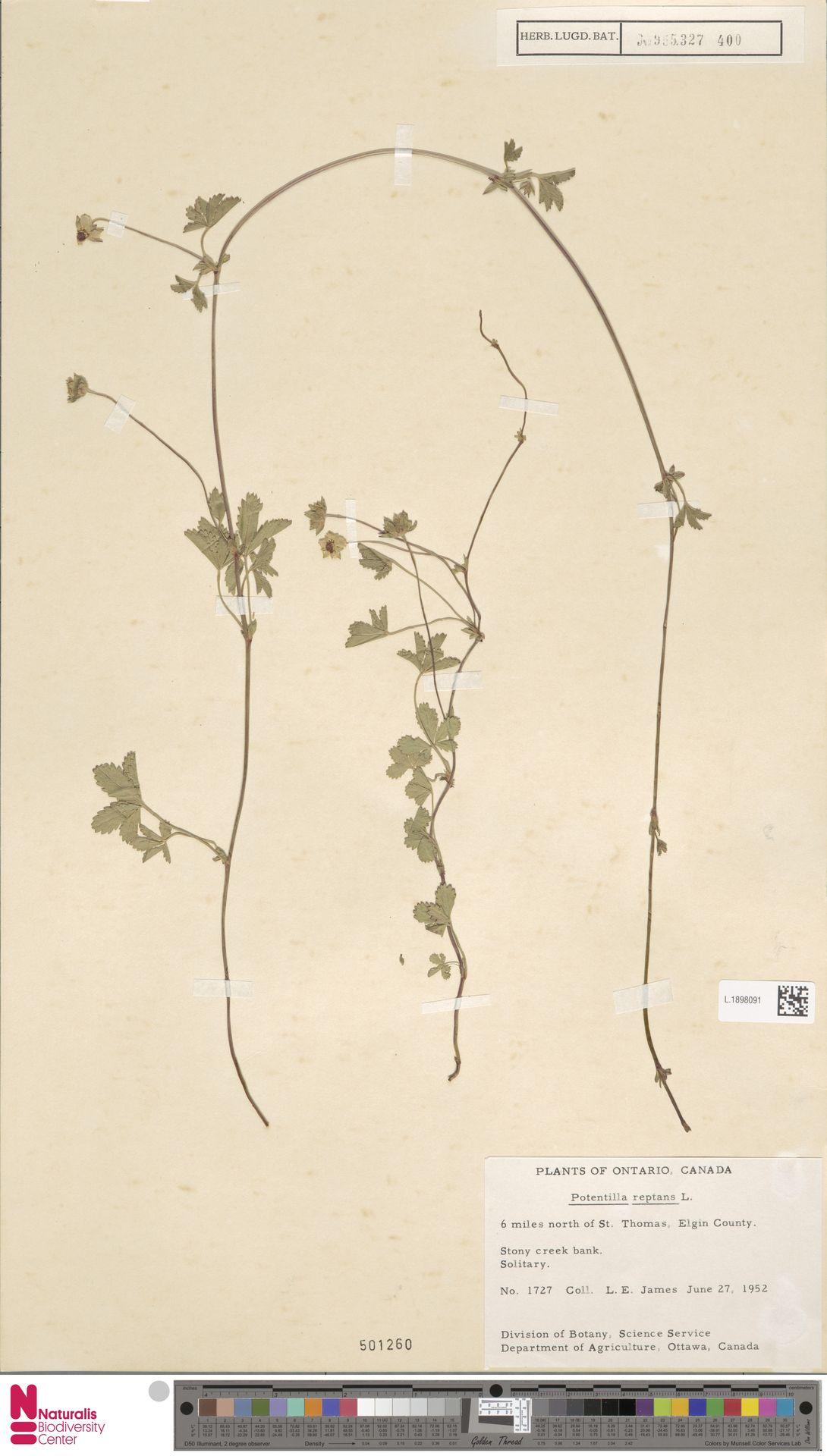 L.1898091 | Potentilla reptans L.