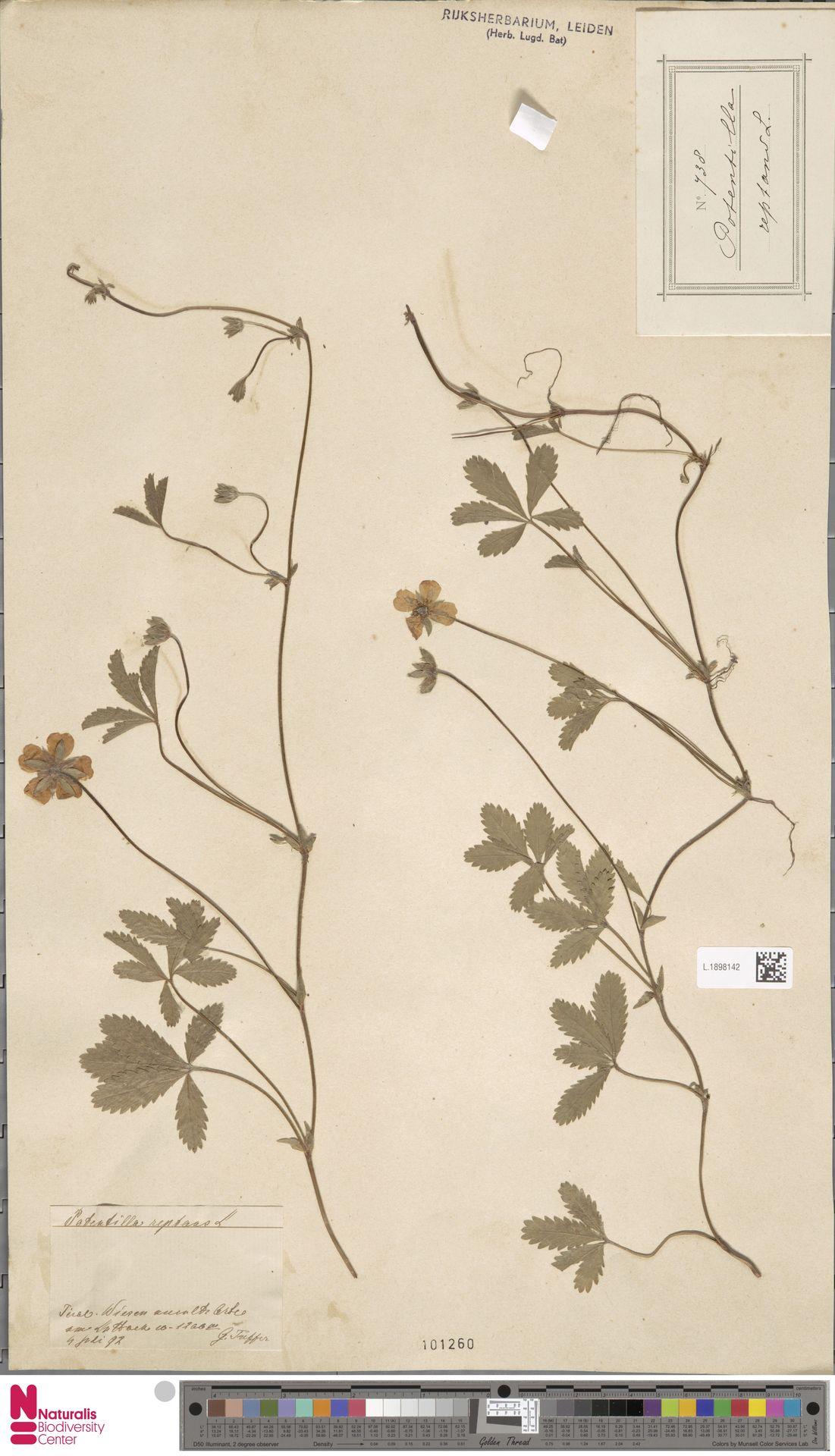 L.1898142 | Potentilla reptans L.