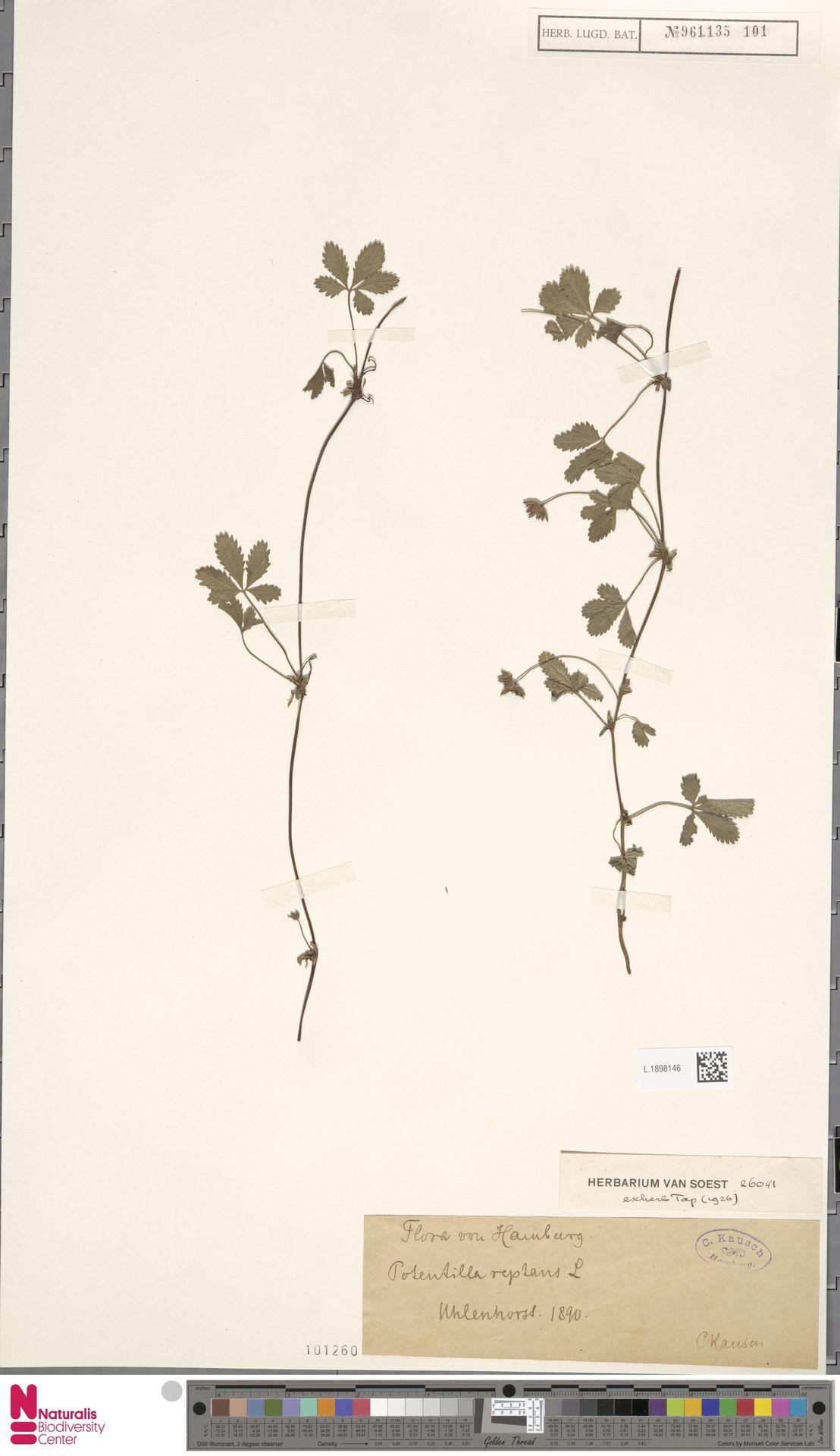 L.1898146 | Potentilla reptans L.