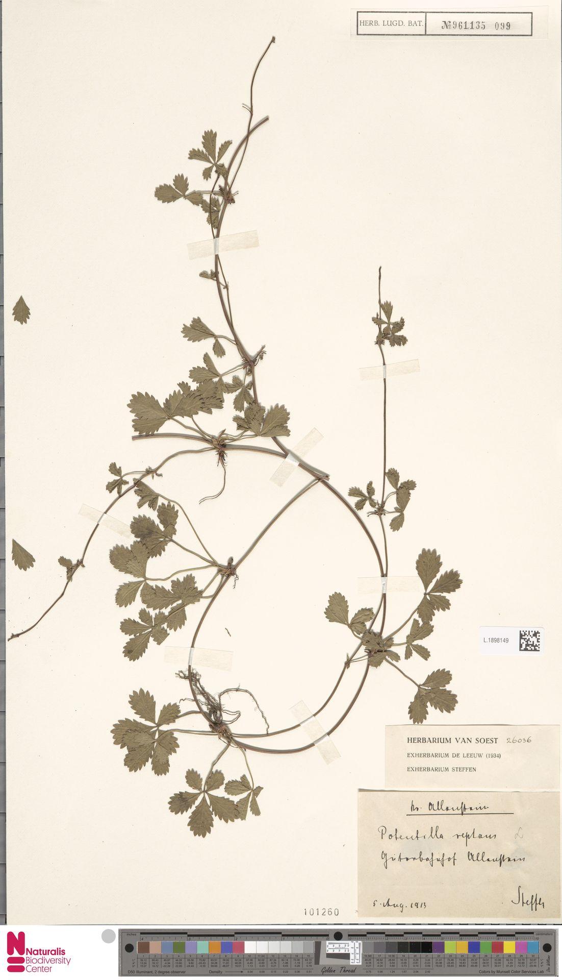 L.1898149 | Potentilla reptans L.