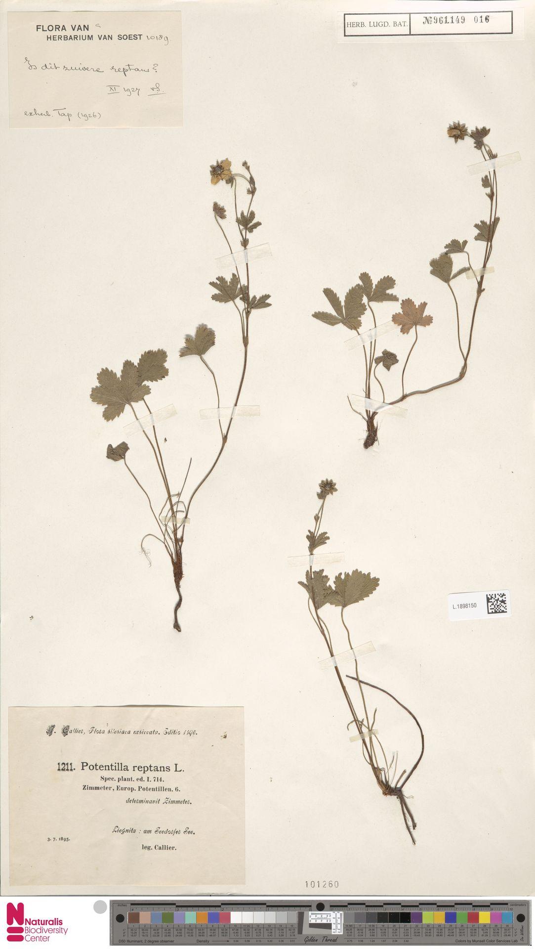 L.1898150 | Potentilla reptans L.