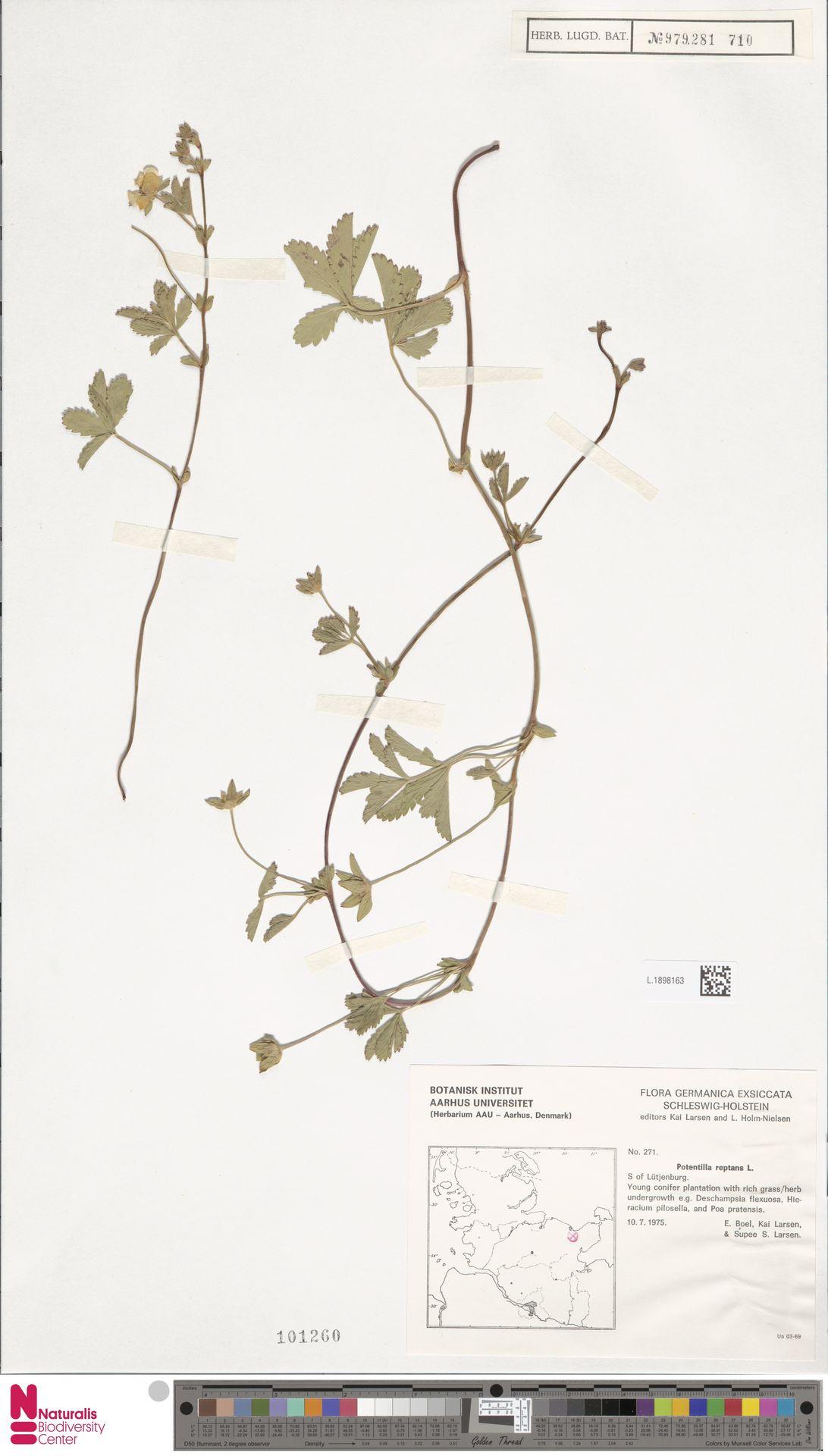 L.1898163 | Potentilla reptans L.