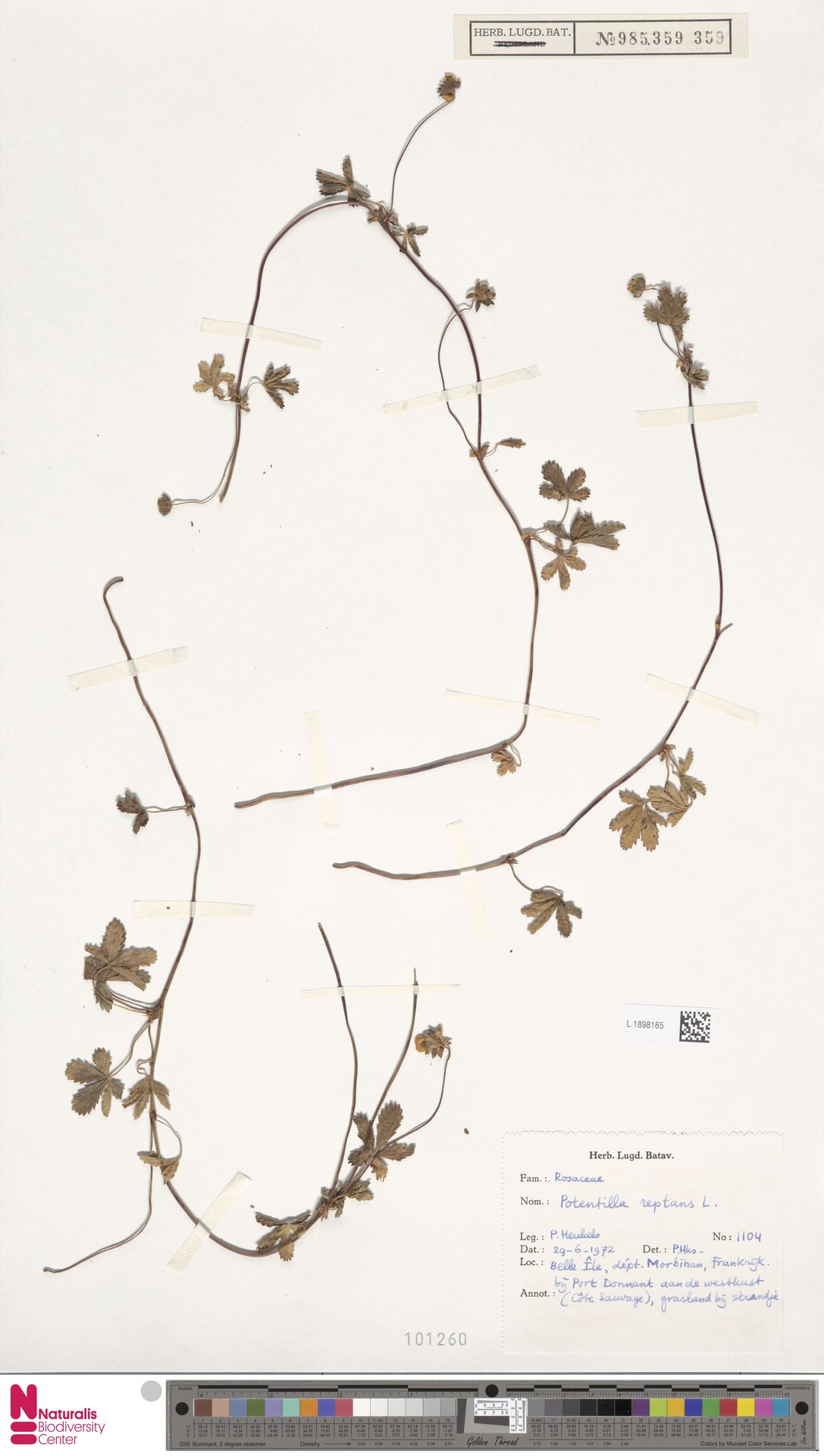 L.1898165 | Potentilla reptans L.