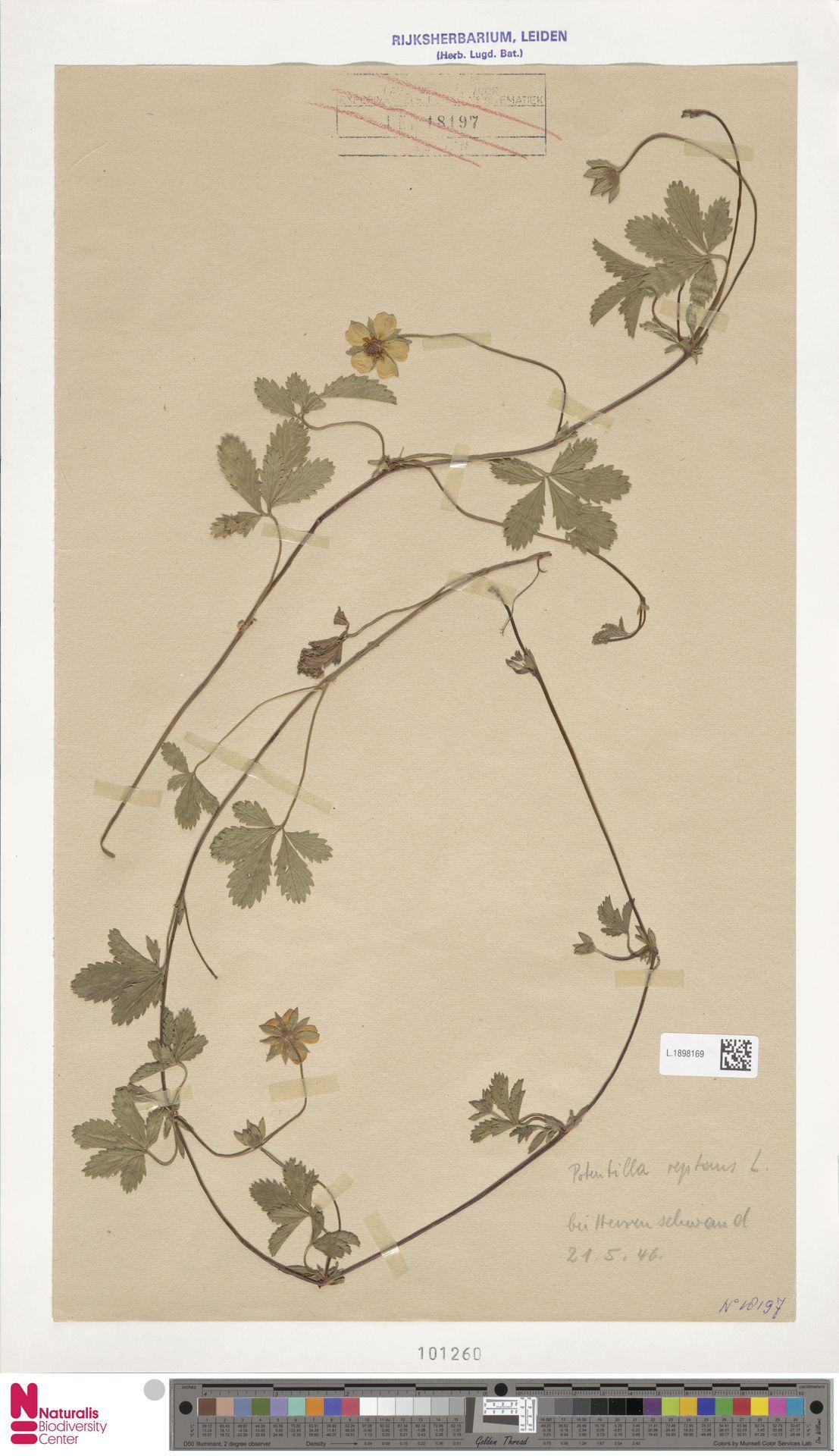 L.1898169   Potentilla reptans L.