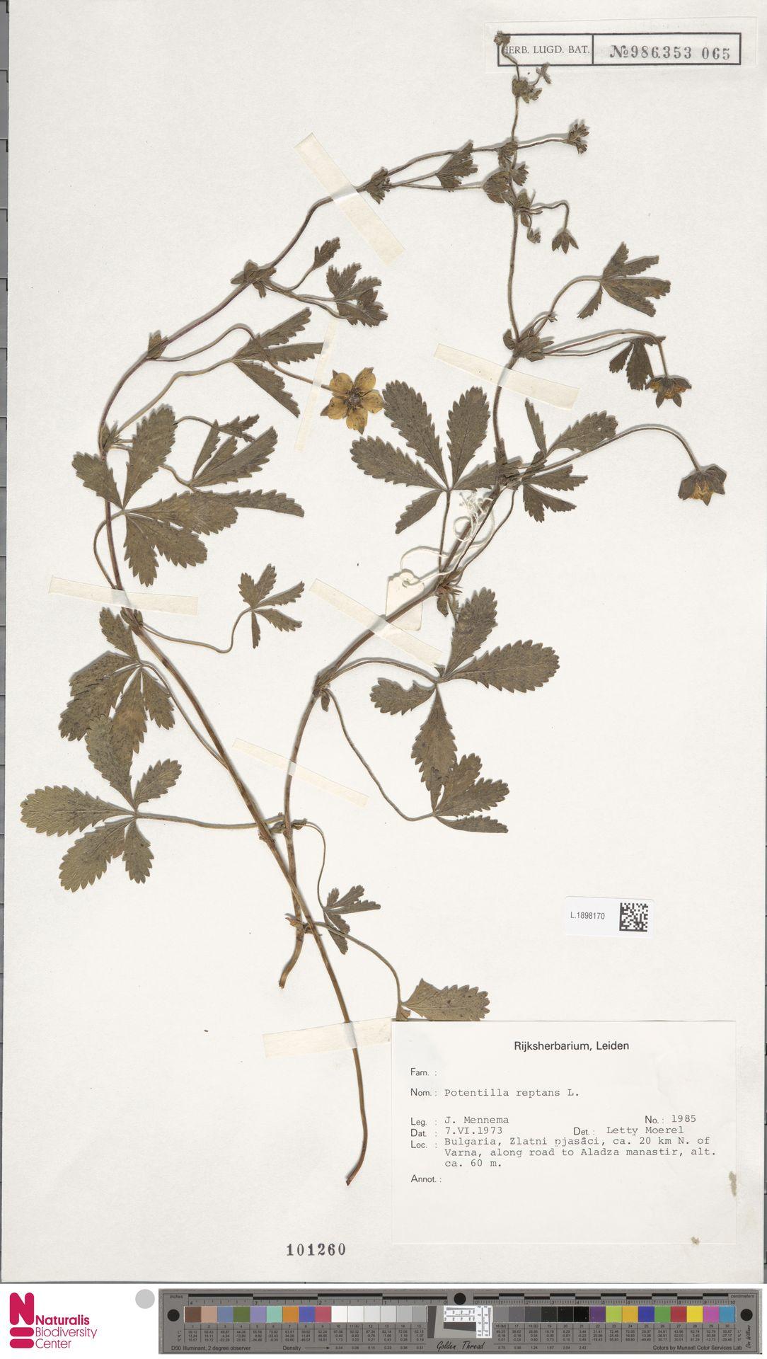 L.1898170 | Potentilla reptans L.