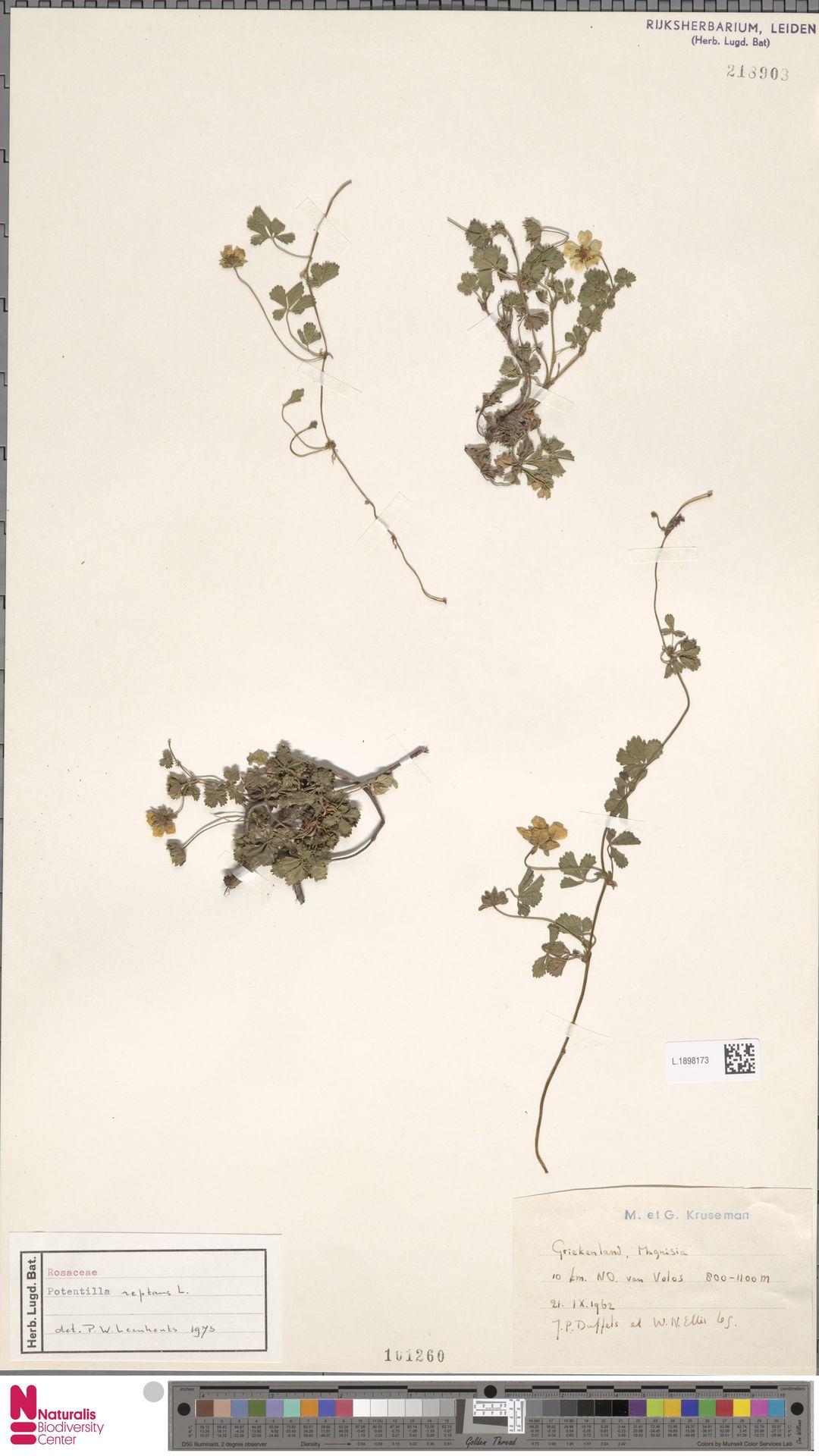 L.1898173 | Potentilla reptans L.