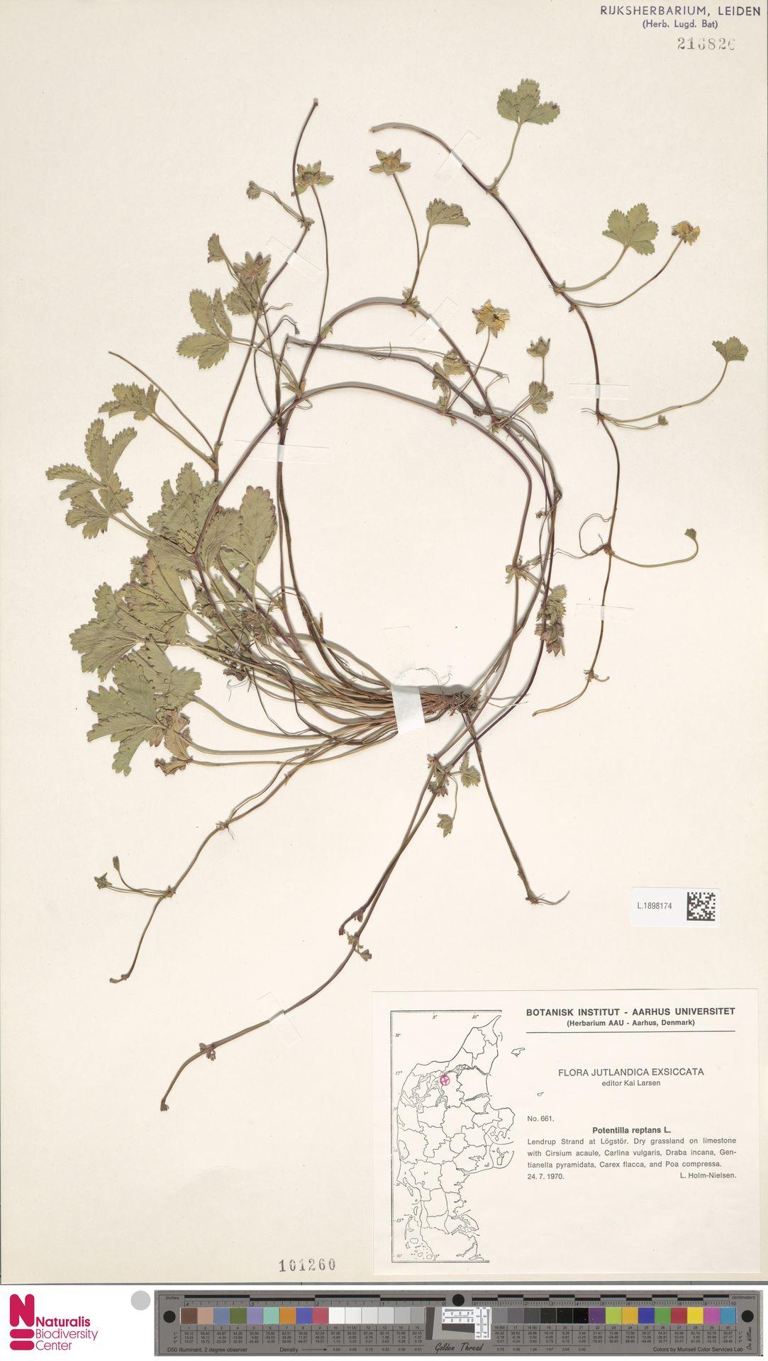 L.1898174 | Potentilla reptans L.