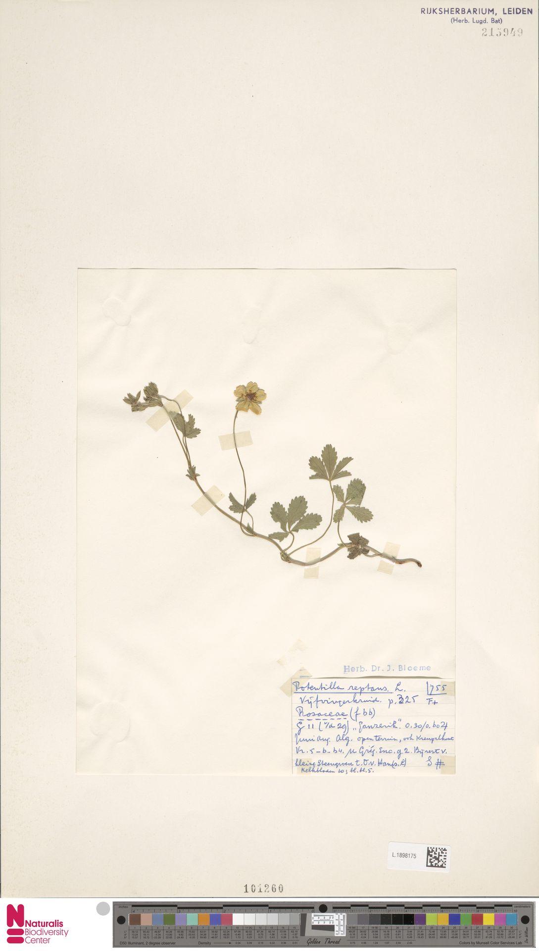 L.1898175 | Potentilla reptans L.