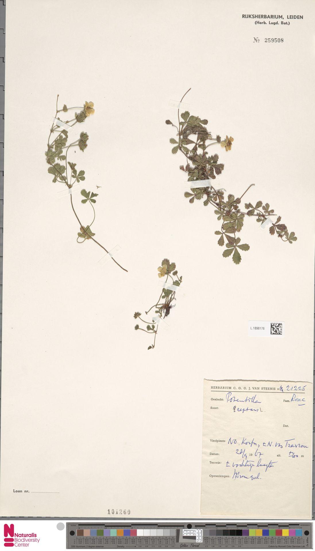 L.1898176   Potentilla reptans L.