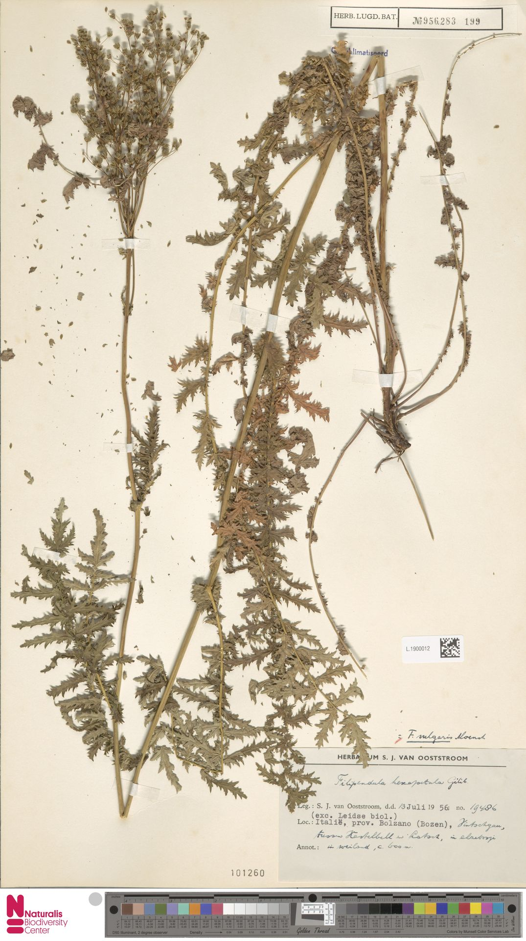 L.1900012 | Filipendula vulgaris Moench
