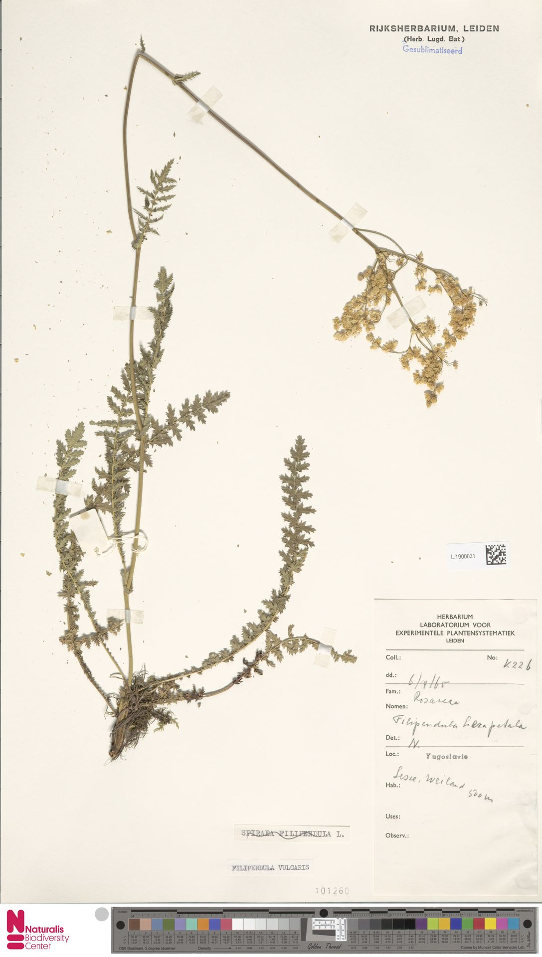 L.1900031 | Filipendula vulgaris Moench