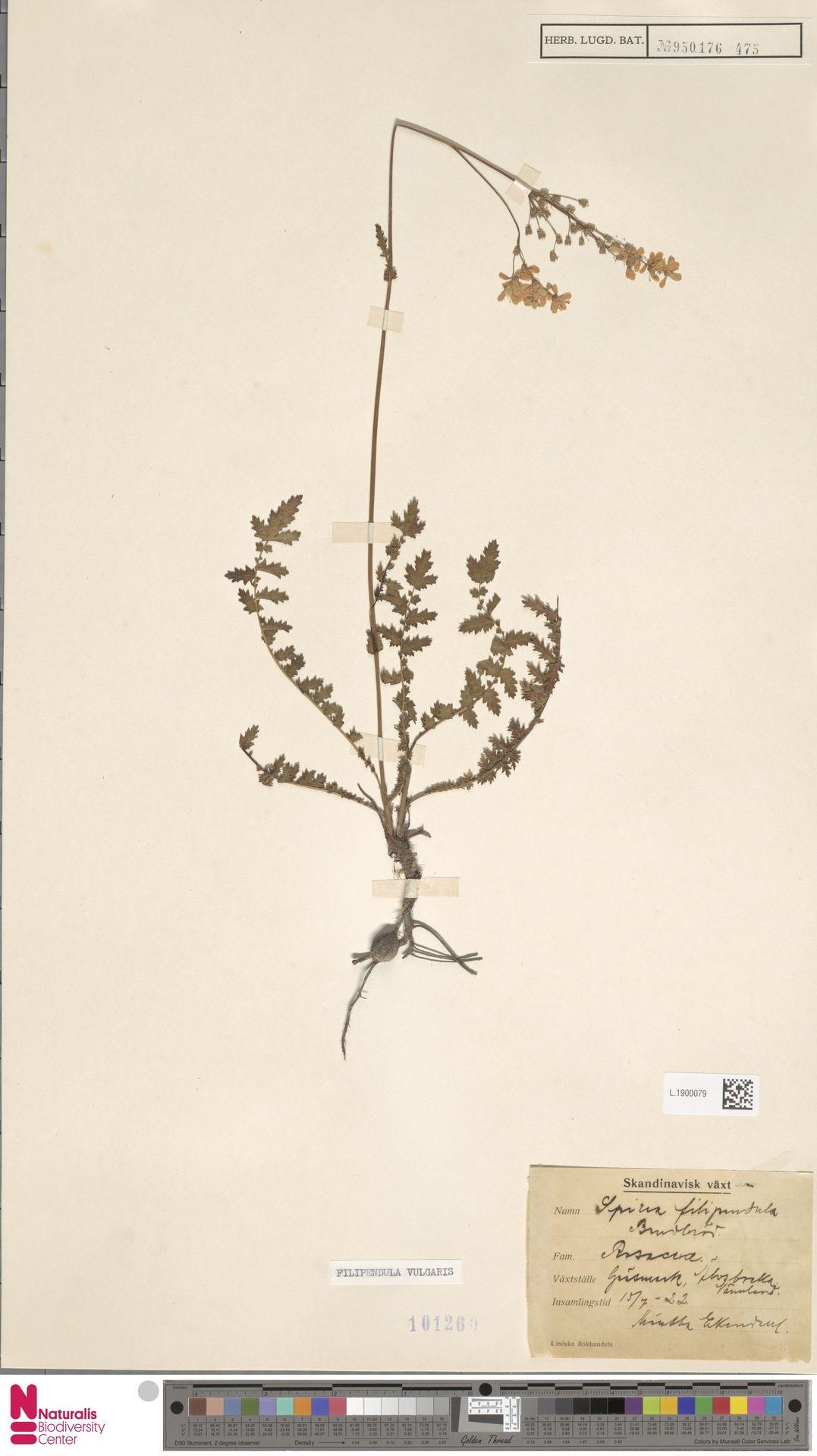 L.1900079   Filipendula vulgaris Moench