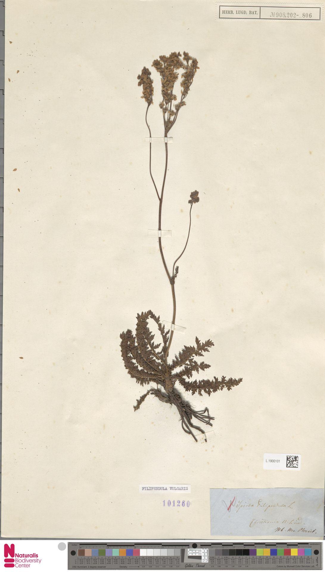 L.1900101 | Filipendula vulgaris Moench
