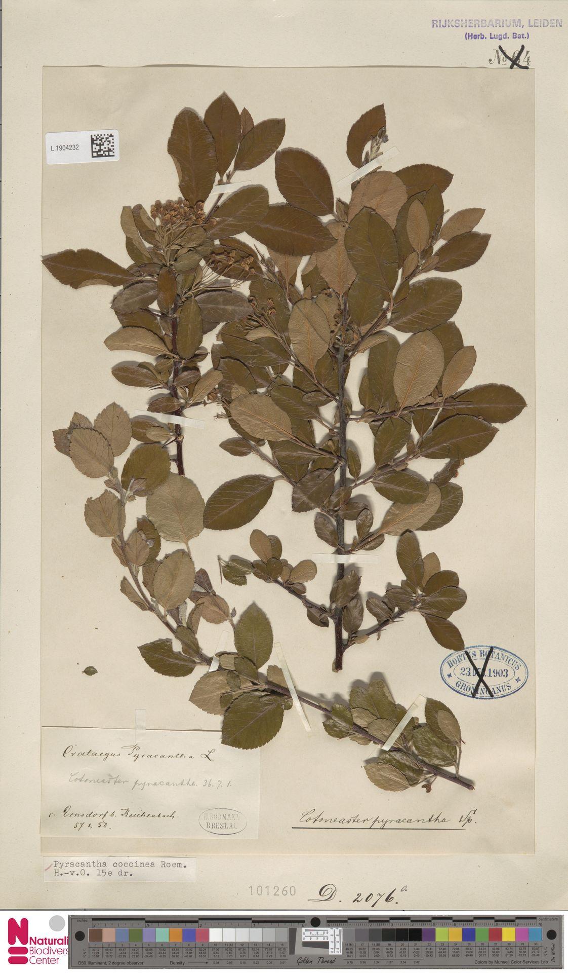 L.1904232   Pyracantha coccinea M.Roem.