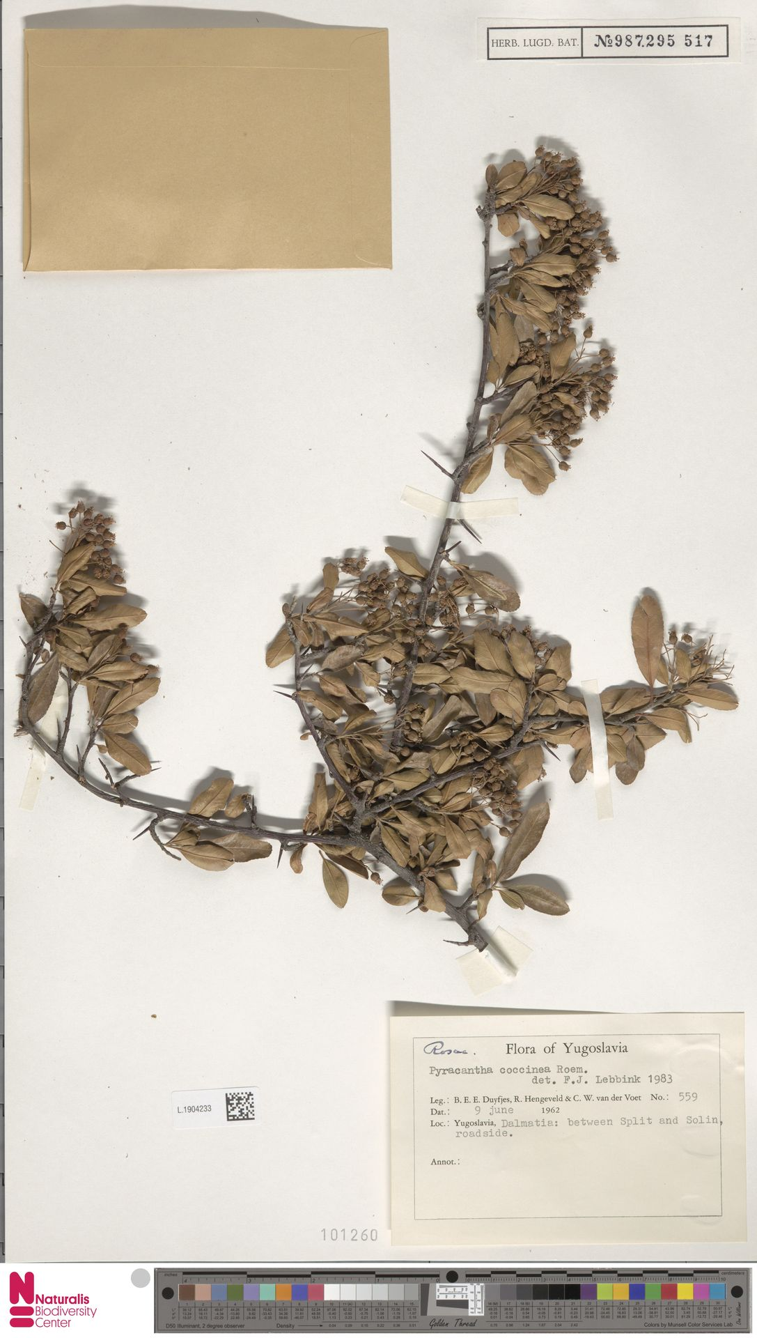L.1904233 | Pyracantha coccinea M.Roem.