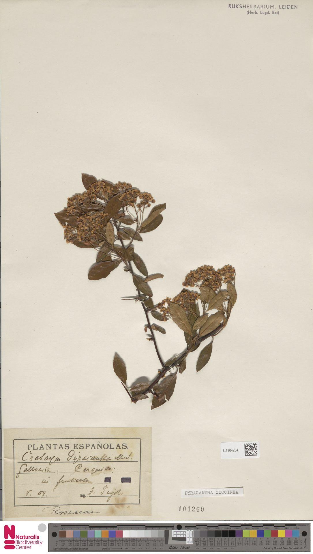 L.1904234 | Pyracantha coccinea M.Roem.