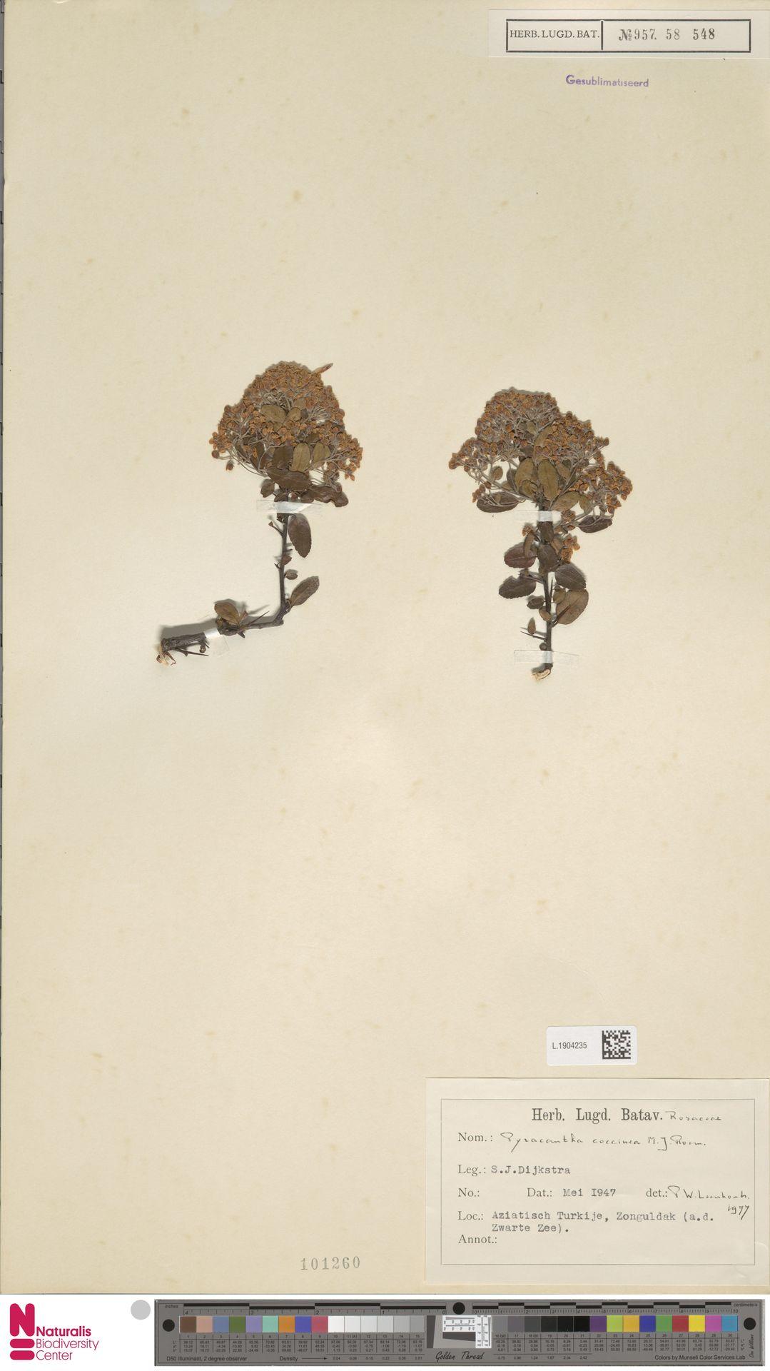 L.1904235 | Pyracantha coccinea M.Roem.