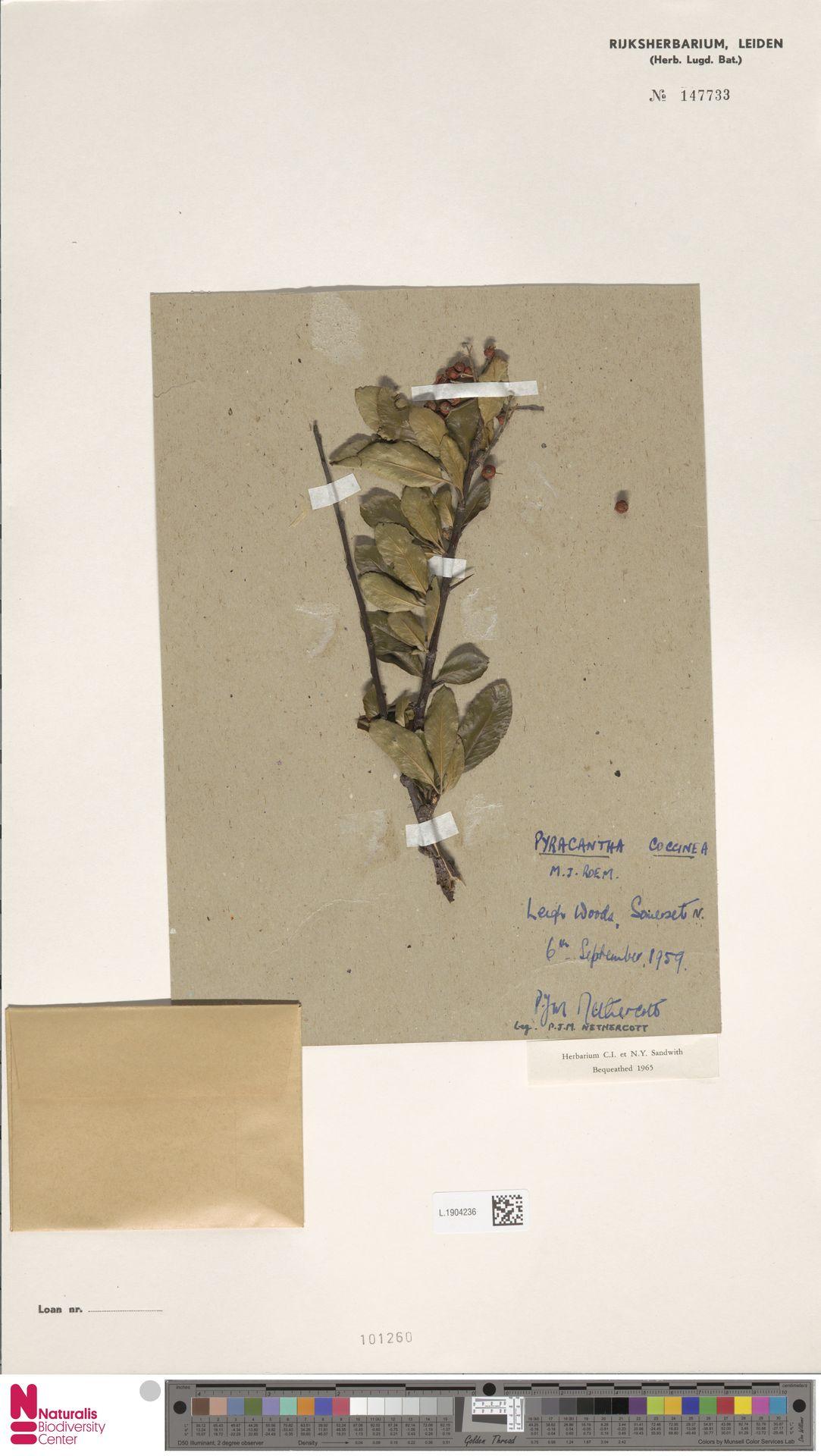 L.1904236 | Pyracantha coccinea M.Roem.