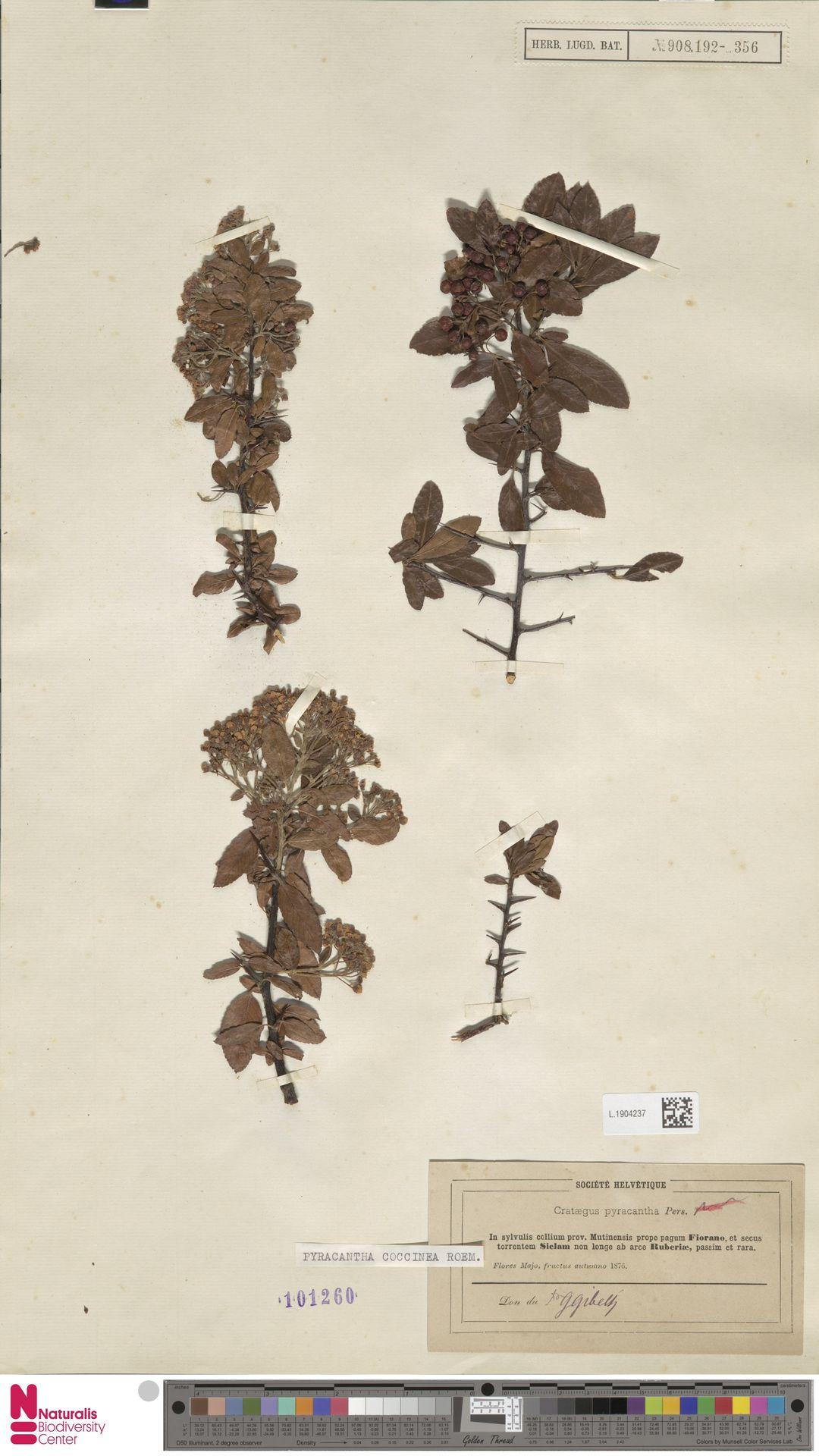L.1904237 | Pyracantha coccinea M.Roem.